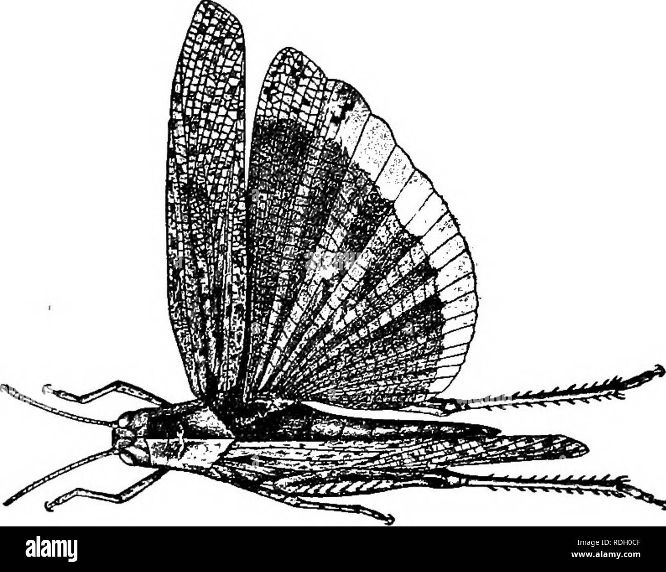 . A textbook in general zoology. Zoology. 15fi LOCUSTS, BUTTERFLIES, BEES, WASPS or the hot dusty highways from which they take flight io advance of the rider or pedestrian.. Fig. 93. — Carolina locust. After Lugger. Segments and regions of the body. —In studying a locust we shall find that its body, especially its abdomen, Hindtvinct Forewing. Please note that these images are extracted from scanned page images that may have been digitally enhanced for readability - coloration and appearance of these illustrations may not perfectly resemble the original work.. Herrick, Glenn W. (Glenn Washing - Stock Image