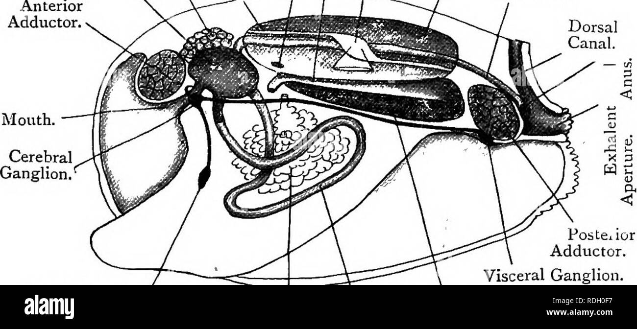 . Elementary text-book of zoology. ANODONTA, 273 supra-branchial chambers from the mantle-cavity below. Posteriorly these lead into the exhalent chamber. The water appears to pass between the gill-filaments directly into the supra-branchial and exhalent chambers, aerating the blood in the gill-filaments in its course. The food-particles appear to pass forward to the mouth, which is situated just under the anterior adductor muscle. They are assisted by a pair of fiat triangular labial palps in each side. From this it is seen that the ctenidia serve the two purposes of alimentation Fig. ig2.—Dis - Stock Image
