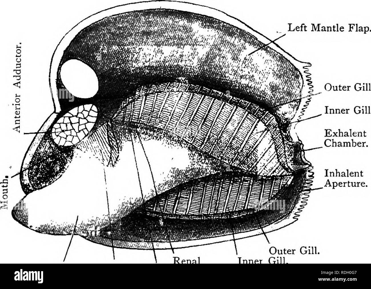 . Elementary text-book of zoology. 272 MOLLUSC A. On either side of the foot there hang the gill-lamella, or ctenidia. These are lamellae on each side, formed in each J, . case by a gill-plate folded on itself, the outer gill-plate outwards and the inner inwards. The gill-plates are themselves composed of a number of gill- Jilaments, which hang perpendicularly in a single row from a horizontal axis which is fused with the body-wall. Fig. 191—View of Anodonta with Left Mantle-Flap thrown Bacic. (Ad nat.) Left Mantle Flap.. Inhalent Aperture. Outer Gill. Renal Inner Gill. Foot. Labial Genital Ap - Stock Image