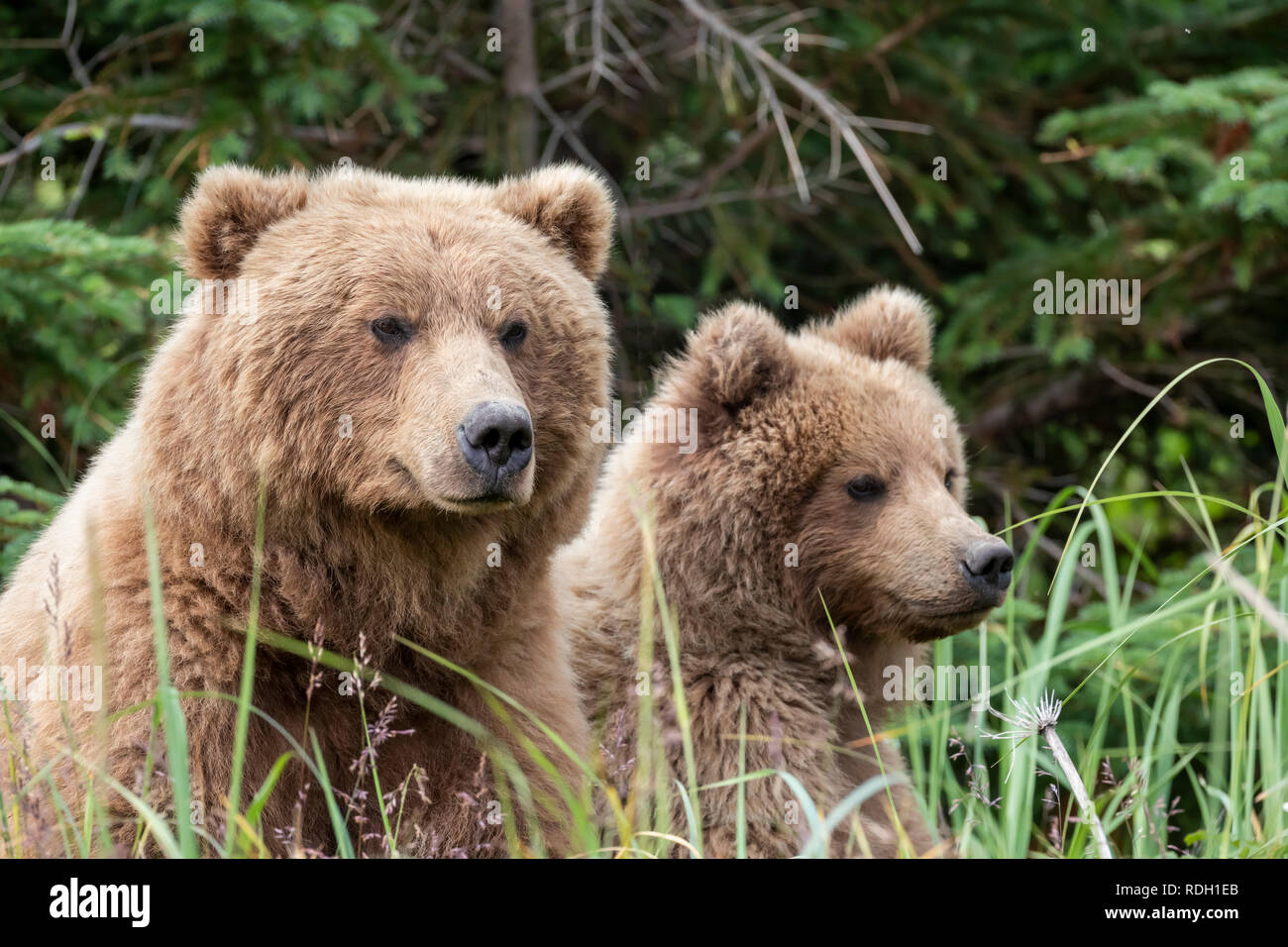Brown Bear (Ursus arctos) sow and two third year cubs in Lake Clark National Park, Alaska - Stock Image