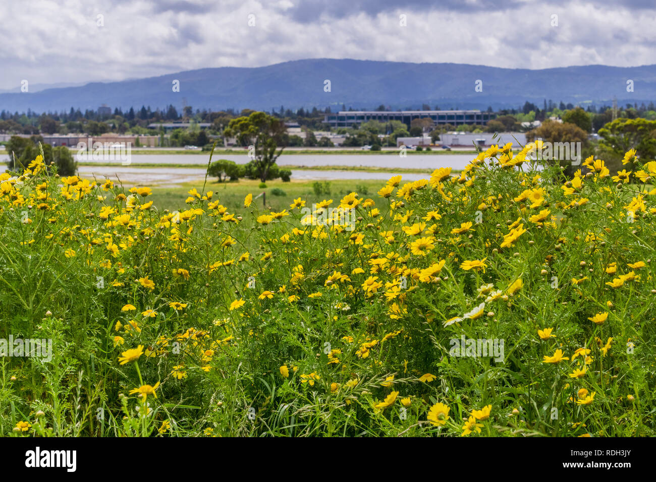 Corn Marigold Glebionis Segetum Blooming On A Field Bedwell