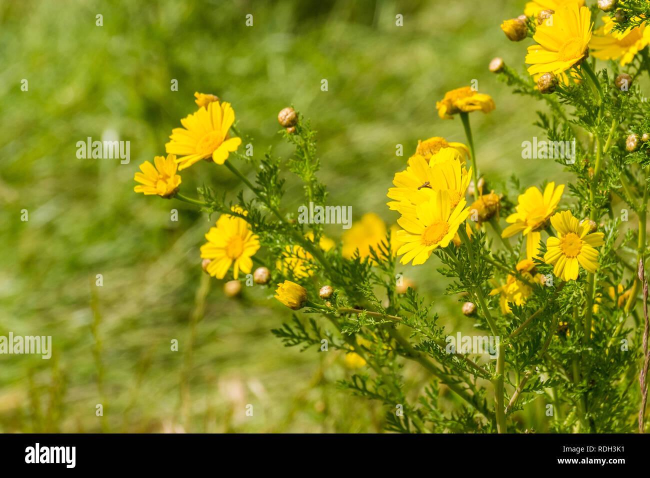 Corn Marigold Glebionis Segetum Blooming On A Field In San