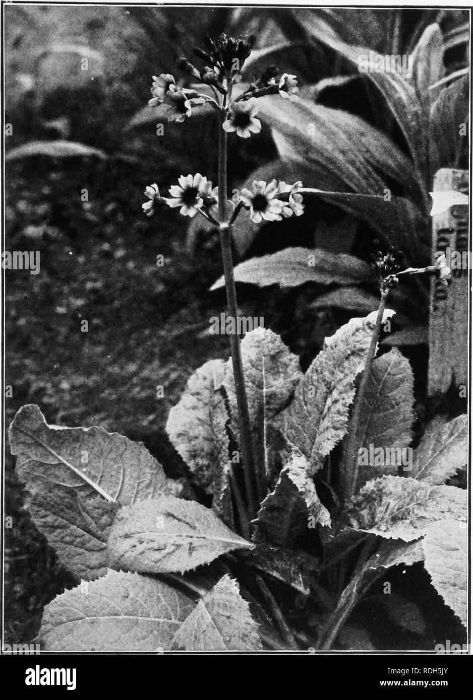 Garden Flower Primrose Primula Vulgaris Spring Flowering Perennial Pot Plants X5