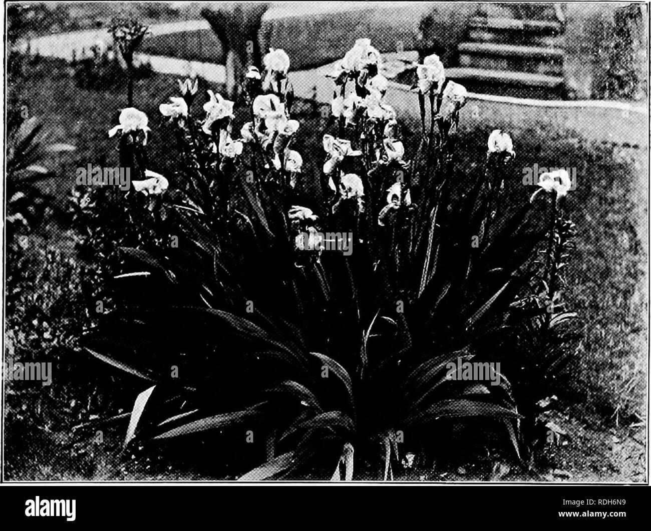 434968661e06a A year's gardening. Gardening. IN A SUBURBAN GARDEN. Bush of White  Michaelmas .