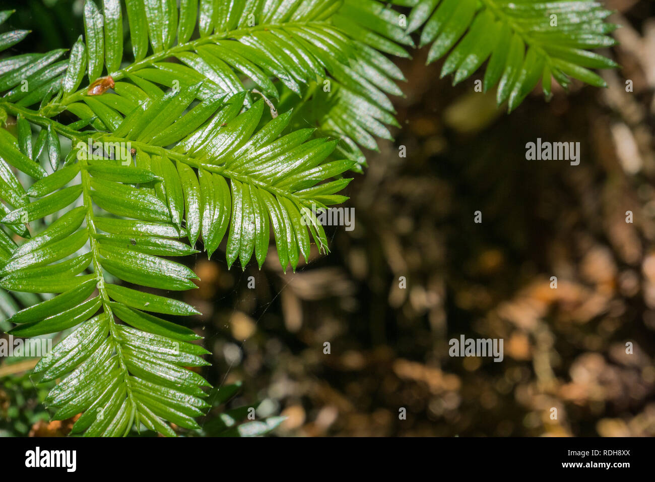 New redwood trees branches, California Stock Photo