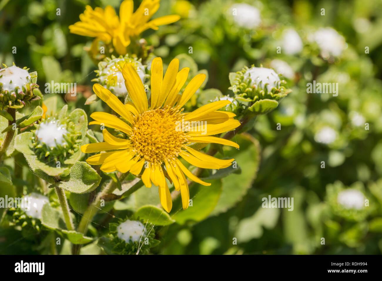Great Valley Gumweed, Great Valley Gumplant (Grindelia camporum, Grindelia robusta) flowering, California Stock Photo