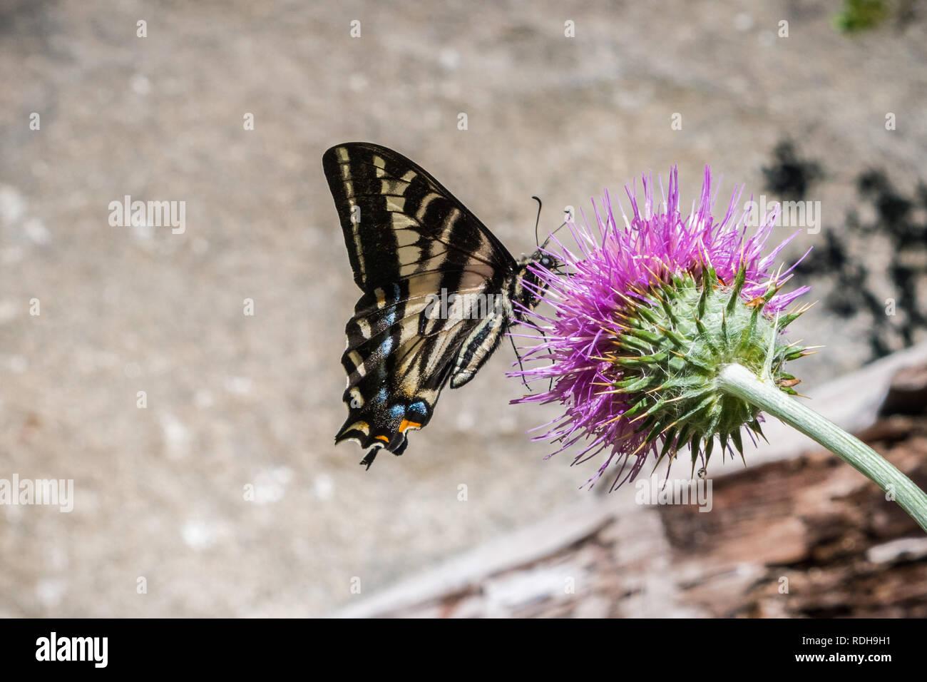 Western Tiger Swallowtail (Papilio rutulus) pollinating a thistle flower, Yosemite National Park, California Stock Photo