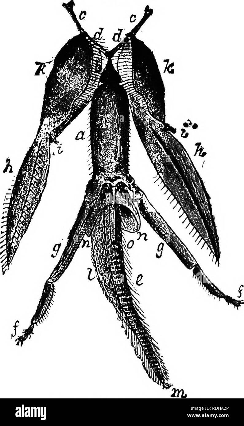 . The bee-keeper's guide; or, Manual of the apiary. Bees. OR, MANUAL OF THB APIARY. 67 and in some insects are wholly wanting. Sometimes, as in some of the beetles, there is a third piece running from the stipes between the palpus and lacinia, called the galea. The Fig. 16.. Tongue of Bee.—From Oowan. a Mentum. 6 Sub-mentum. c, c Cardines. d,d Lora. e Ligula hairs. /, g Labial palpi. h, h L-Lacinia. i, i, Maxillary palpi. k, k Stipes. I Ligula. m Funnel of tongue. I n, Paraglossa. 0 Opening of tongue. maxillse also move sidewise, and probably aid in holding and turning the food while it is cru - Stock Image