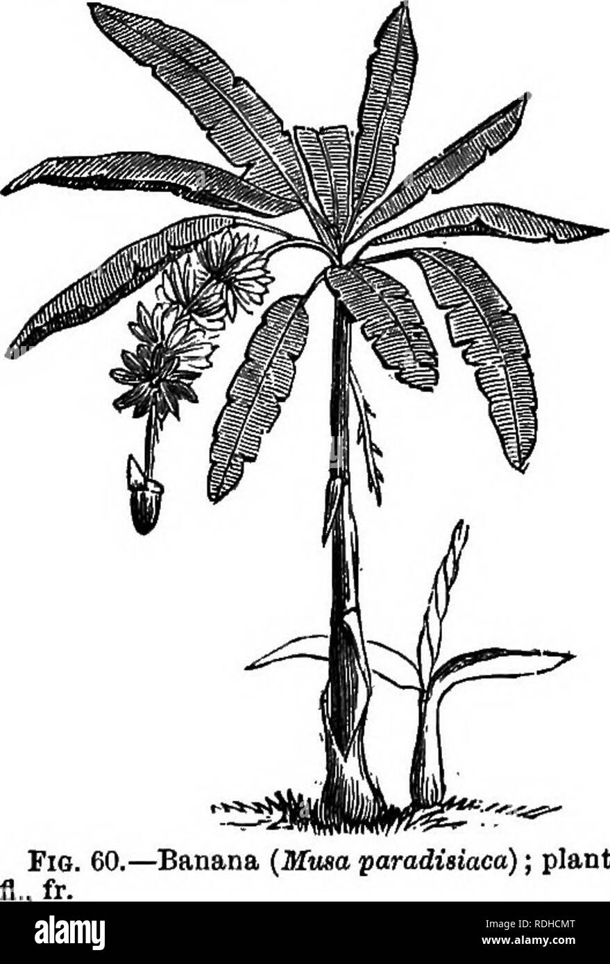 . Botany for academies and colleges: consisting of plant development and structure from seaweed to clematis. Botany; 1889. 54 ACADEMIC BOTANY. 161) and the Canna (Fig. 63, C). 90. Endogenous Growth. —The embryo governs the leaf and stem (32). In Endogens the embryo has one cotyledon, which sheathes the plumule. The plants therefore have alternate, sheathing, parallel - veined leaves; the veins run from base to tip, as in the Grasses (Fig. 51), or from midrib to margin, as in the Banana (Fig. 60). Sometimes the leaves are net-veined, as in the Yam (Fig. 89) and Smilax (Fig. 241); but the net-ve - Stock Image