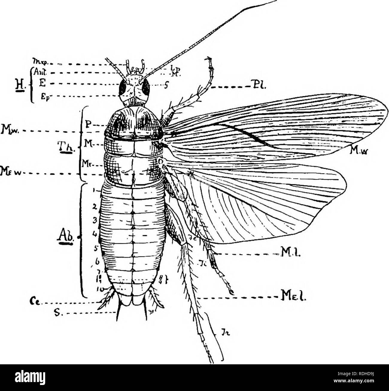 """. A text-book of agricultural zoology. Zoology, Economic. 90 ANATOMY OF AN AftTHEOPOD. 32 A, c), a broad plate, which is followed by a smaller plate united to the front of the clypeus, called the labrum or """"upper lip"""" {L). The plate on each side below and behind the eyes is called the gena or cheek (G). Ocelli are absent in this type, other- wise they would be situated on the epicranium. The thorax. Fig. 31.—Structure of an Arthropod {Periplaneta wmeHcarm). Hf head; Th, thorax; Ab, abdomen; Mxp, maxillary palps; Zp, labial palps; Jlf, maxillse; Antf antennae; E, eyes; Ep, epicranium; - Stock Image"""