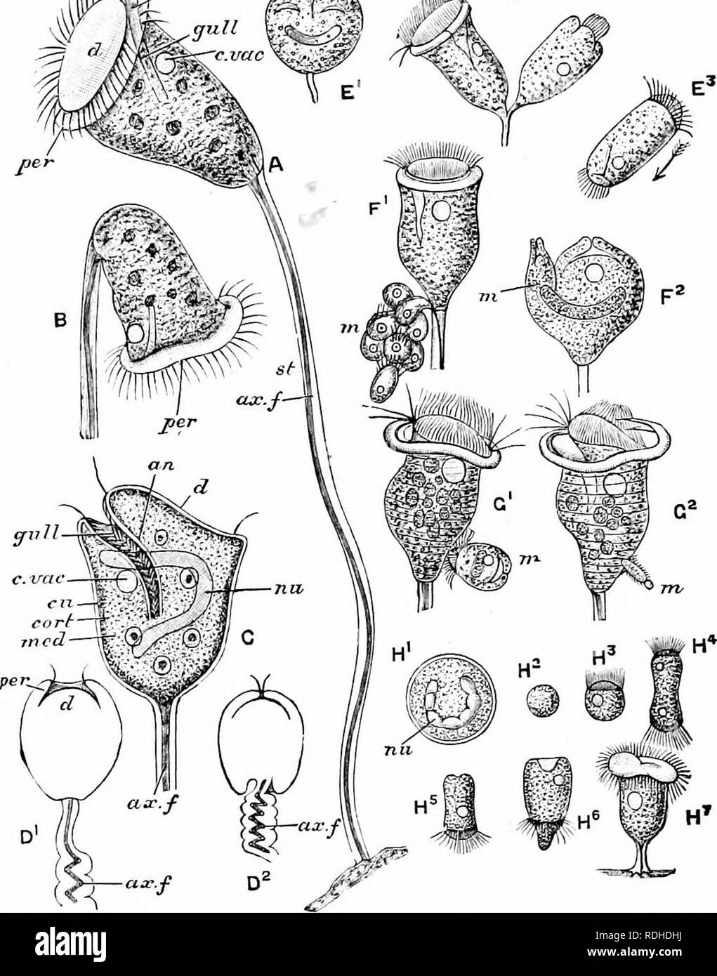 . A manual of zoology. 54 MANUAL OF ZOOLOGY SECT. Dendrosoma (Fig. 20, g), one of the Tentaculifera : it has a creeping stem from which branches spring upwards, each terminating in a zooid with suctorial tentacles j and 'dkk>. Fig. 22.—Vorticella. A, B, living specimens in different positions; C, optical section; D1, D-, diagrams illustrating coiling of stalk; E1, E-, two stages in binary fission; E:!, free zooid; F1. F2, division into mega- and microzooids; G1, GJ, conjugation; H1, multiple fission of encysted form; H2, H;i, develop- ment of spores; ax.f, axial fibre; cart, cortex; cm, cut - Stock Image