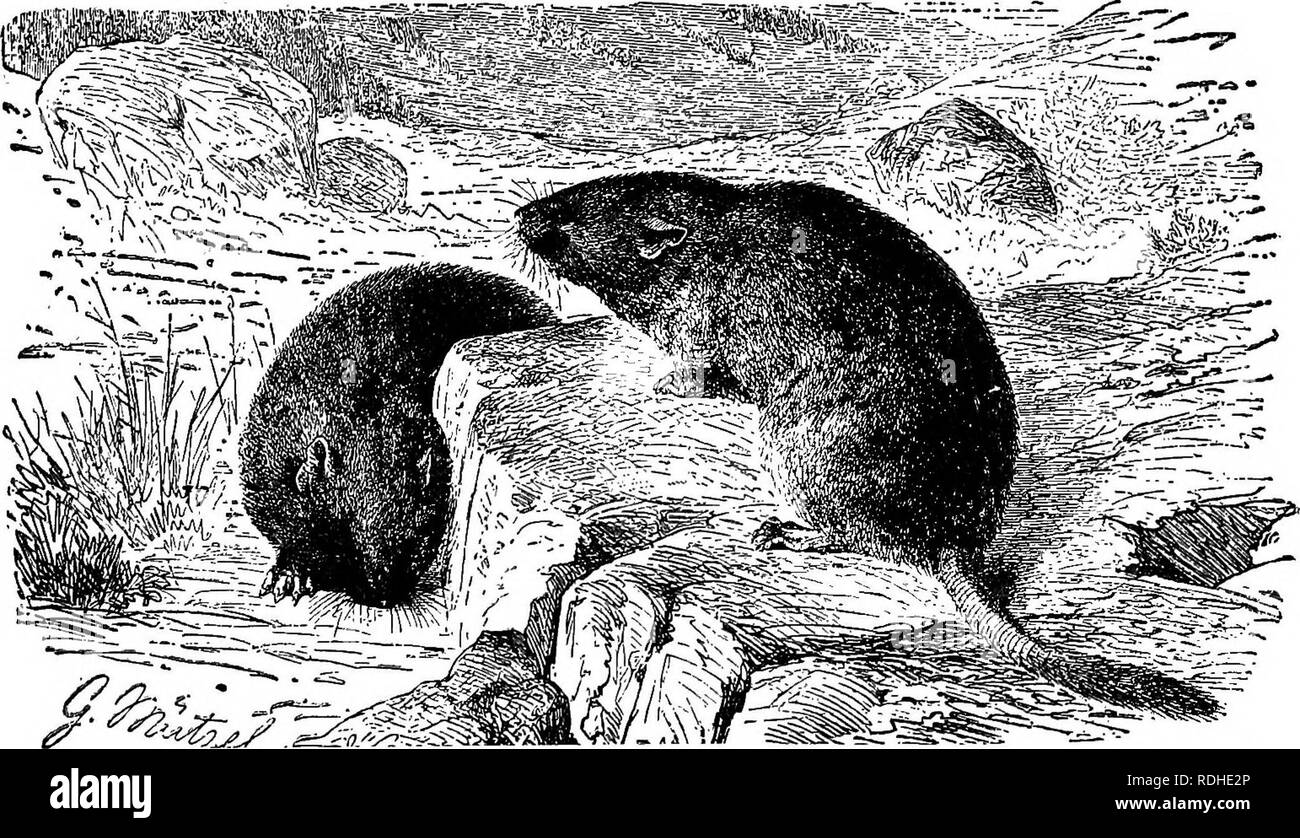 . The animals of the world. Brehm's life of animals;. Mammals. THE UUSKRAT. Among the Vole family of Rodents the most useful is the Muskrat, the American animal shown in the picture. The fur is very much sought aftSr and is one of the warmest and softest. Muskrats hve in burrows near the water's edge for their food consists of aquatic plants. {.Fiber sibethicuf.) the fur on account of the odor of musk which clings to it for a long time, it is often used for trimming clothing, or in the manufacture of collars and muffs, especially in America and China. The best pelts are deprived of the long ou - Stock Image