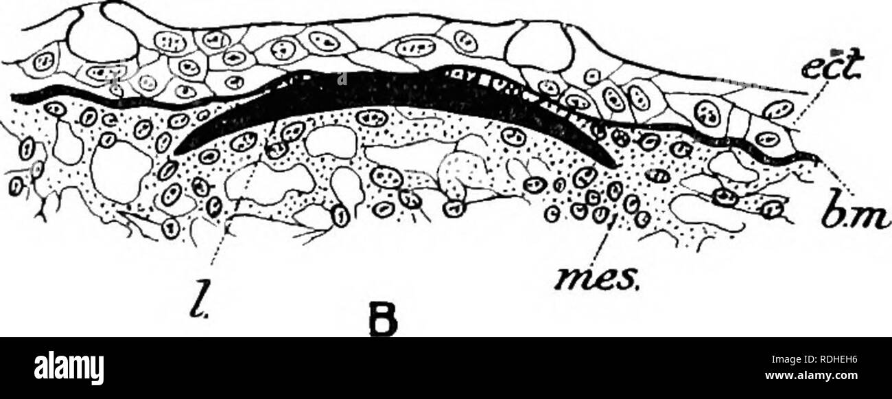 . Text-book of embryology. Embryology. vertebral arches. They arise, e.g. in Elasmobranchs, in ontogeny as independent rods of cartilage without definite relation to the metamerism of the body and later on become segmented into three pieces. In those cases, so far as they have been investigated, in which the radial elements are connected with a continuous basal plate of cartilage, this latter appears to arise in ontogeny as a continuous plate, though there is no reason to doubt that it arose in phylogeny by the fusion together of the basal portions of originally separate rays. This want of cor Stock Photo