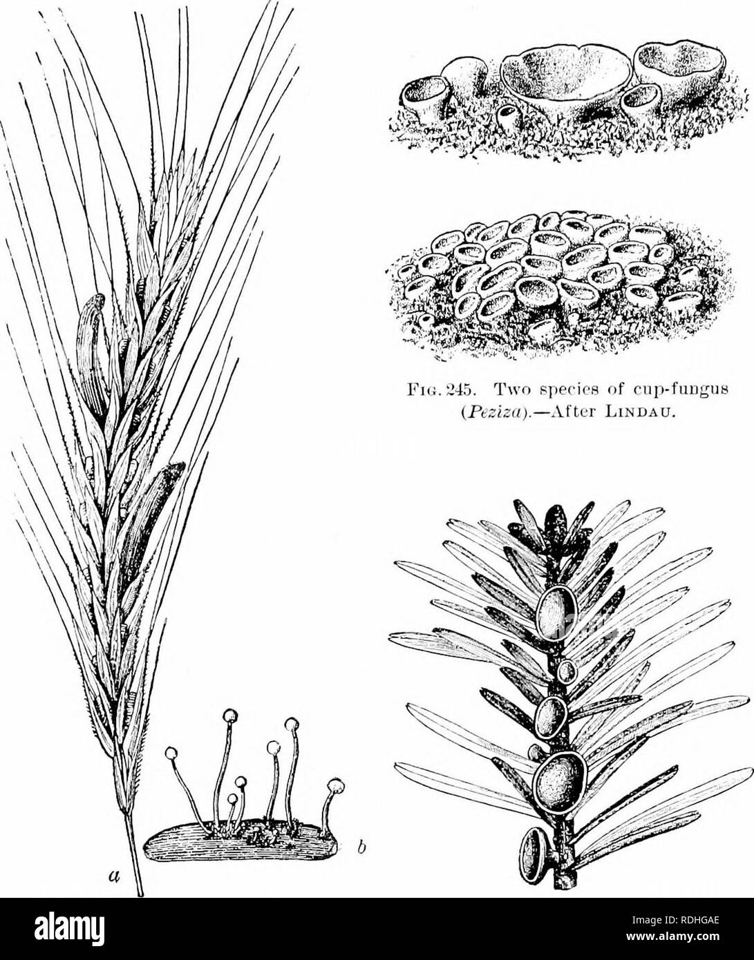 ". Plant studies; an elementary botany. Botany. TllALLUPlIYTES; FUNGI i!T7. Fu;. 2-11. Head of rye attacked by "" er- got "" {a), peculiar graiu-like masses replacing the grains of rye ; also a mass of ""ergot"" germinating' to form spores (6).—After Tulasne. Fic..'2-lii. A cup-fungus (Pitya) grow- 1112; on a spruce iPicea). — After Eedm. In some of these forms the ascocarp is completely closed, as in the lilac mildew; in otlicrs it is flask-sliaped ; in others, as in the cup-fungi, it is like a cup or disk ; but in all the spores are inclosed by a delicate sac, the ascus.. Plea - Stock Image"