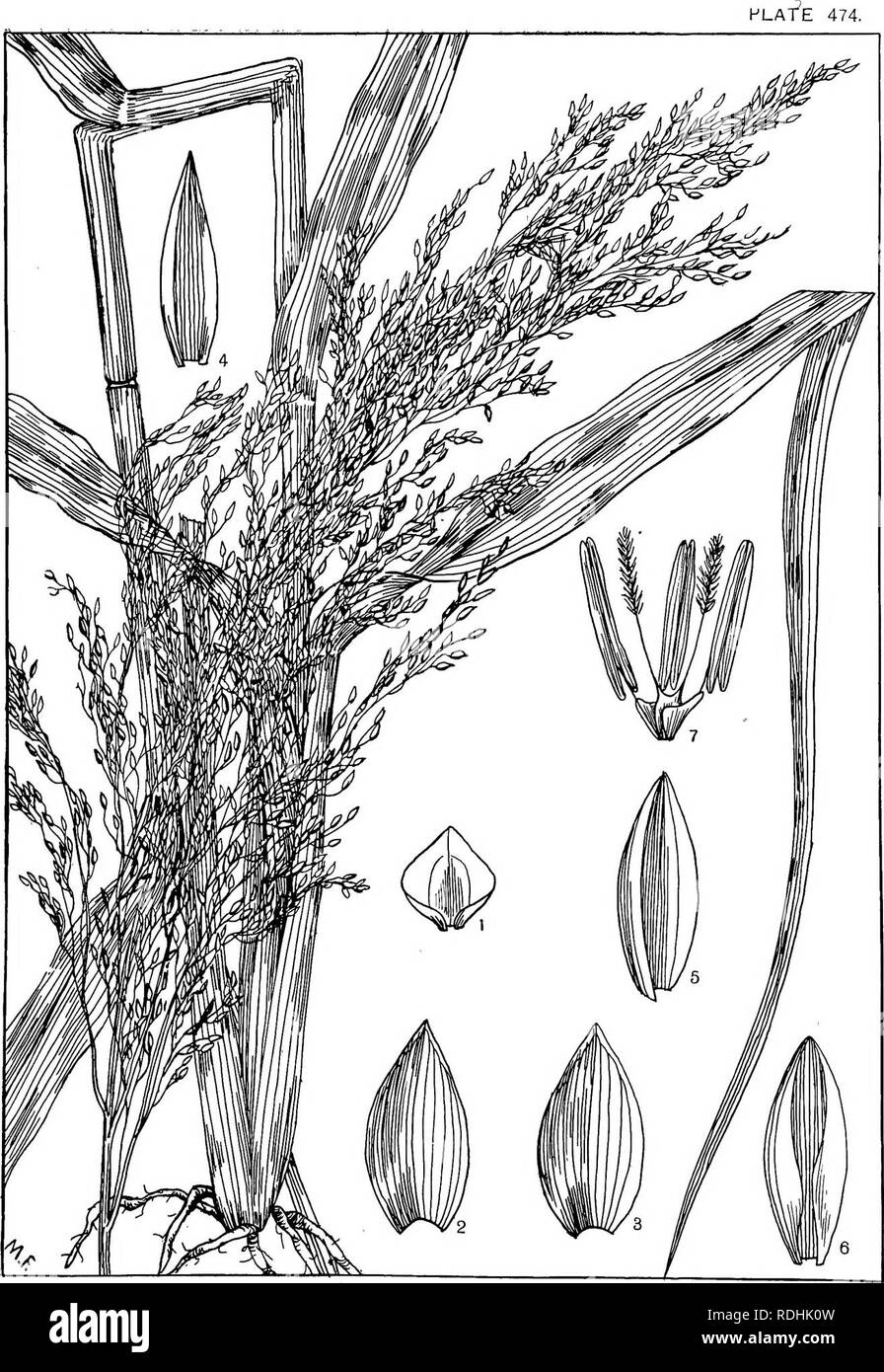 . Natal plants : Descriptions and figures of Natal indigenous plants, with notes on their distribution, economic value, native names, &c., / by J. Medley Wood and Maurice S. Evans. Published under the auspices of Natal Government and Durban Botanic Society. Botany. PANICUM MILIARE, lam. Please note that these images are extracted from scanned page images that may have been digitally enhanced for readability - coloration and appearance of these illustrations may not perfectly resemble the original work.. Wood, John Medley, 1827-1914; Evans, Maurice S. (Maurice Smethurst), 1854-1920; Durban  - Stock Image