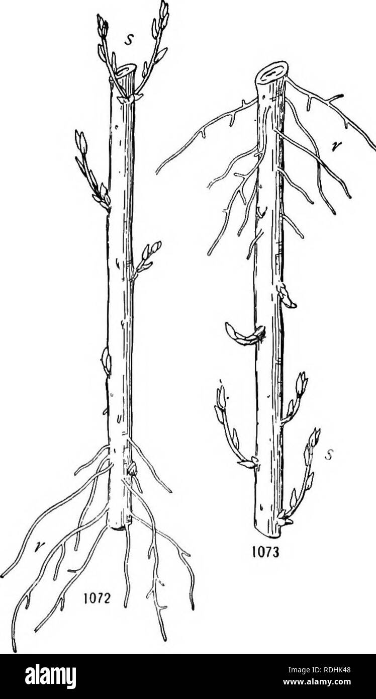 . A textbook of botany for colleges and universities ... Botany. STEMS 749 When a growing tip is removed, the latent buds that develop and replace it commonly are those nearest the apex. If these are removed, those next below develop, and so on until no more buds remain. A remarkable instance of this is seen in Phaseolus (fig. 1071), where buds in the axils of the cotyledons may thus be induced to develop into shoots. If all buds are removed, new buds may organize, as from the exposed part of the cambium ring in a beech stump. The factors operative in regeneration are unknown, the current theo - Stock Image