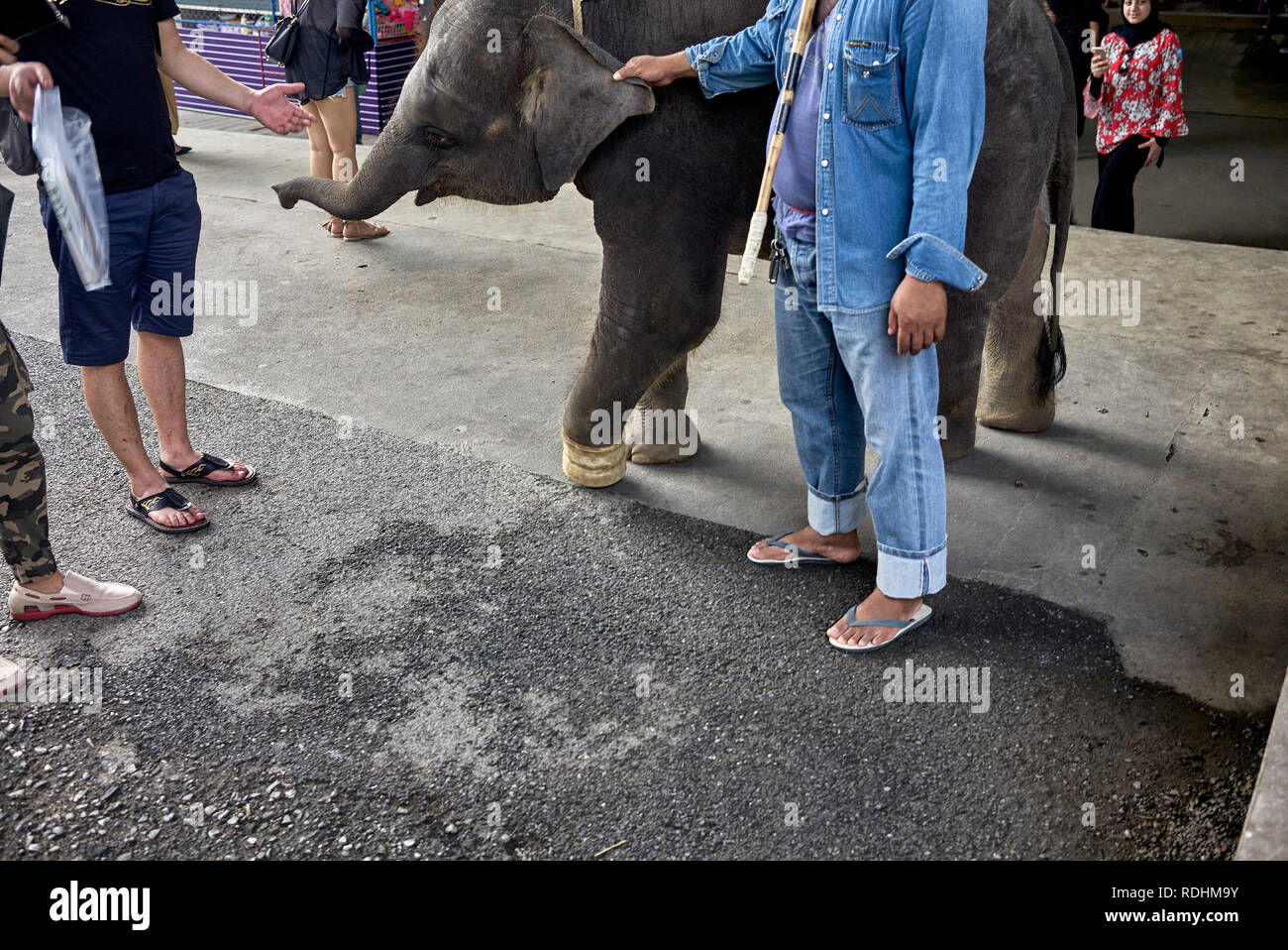 Young injured elephant rescued from a poachers foot trap necessitating amputation. Thailand Southeast Asia - Stock Image