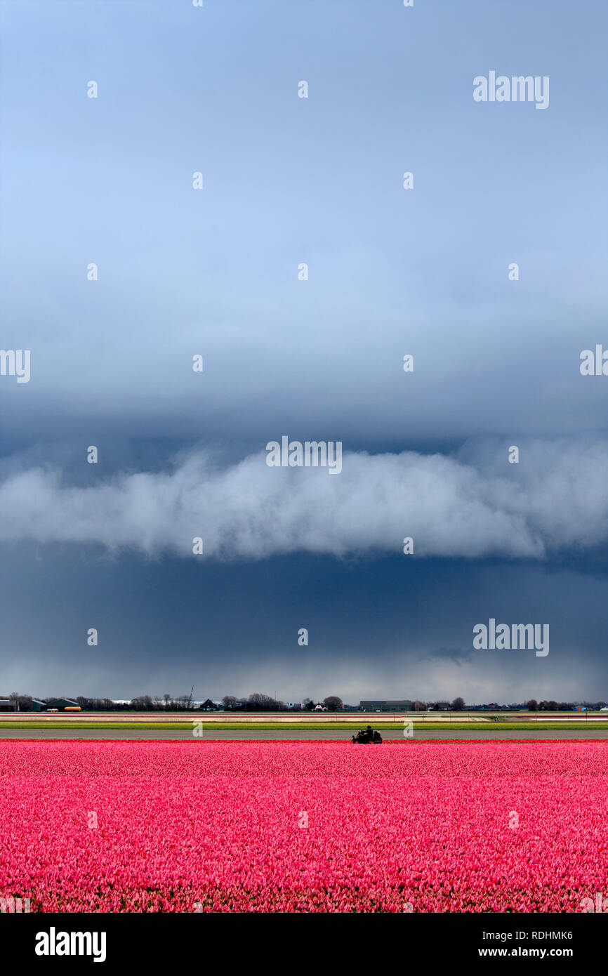 Tulip field with threatening sky. Sint Maartensvlotbrug, The Netherlands. Stock Photo