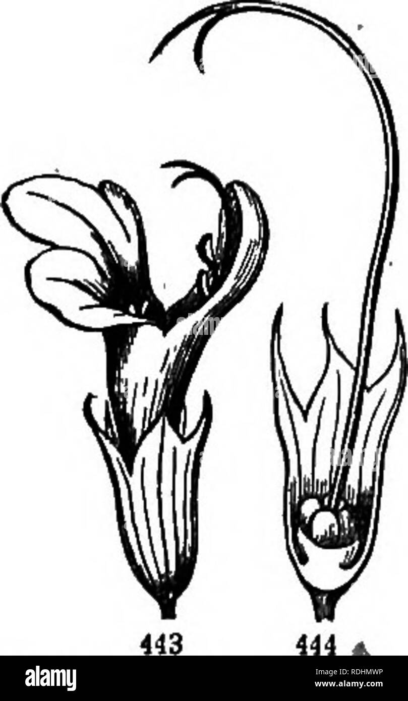 . Botany for young people and common schools : how plants grow, a simple introduction to structural botany : with a popular flora, or an arrangement and description of common plants both wild and cultivated : illustrated by 500 wood engravings . Botany. 178 POPULAR FLORA. Vervain. Verbena. * Showy Verbenas: low and phowy-flowered species, in gardens in summer, the greater part from South America, vi2. K Mdindres (red) and others, now much mixed. And there is one species of this sort wild in Western prairies, viz.: â 1. AuBLET'a Vekbena. Rather hairy; leaves pinnatifid or cut; spikes flat-toppe - Stock Image