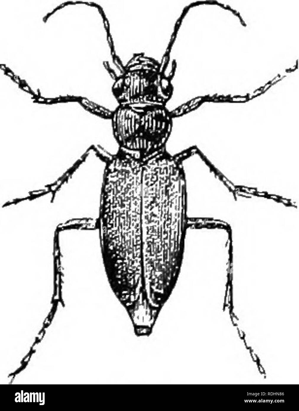 June Beetles Black and White Stock Photos & Images - Alamy