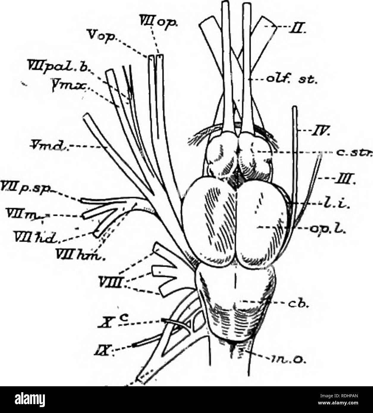 A manual of elementary zoology   Zoology  Fig  409 —A semi