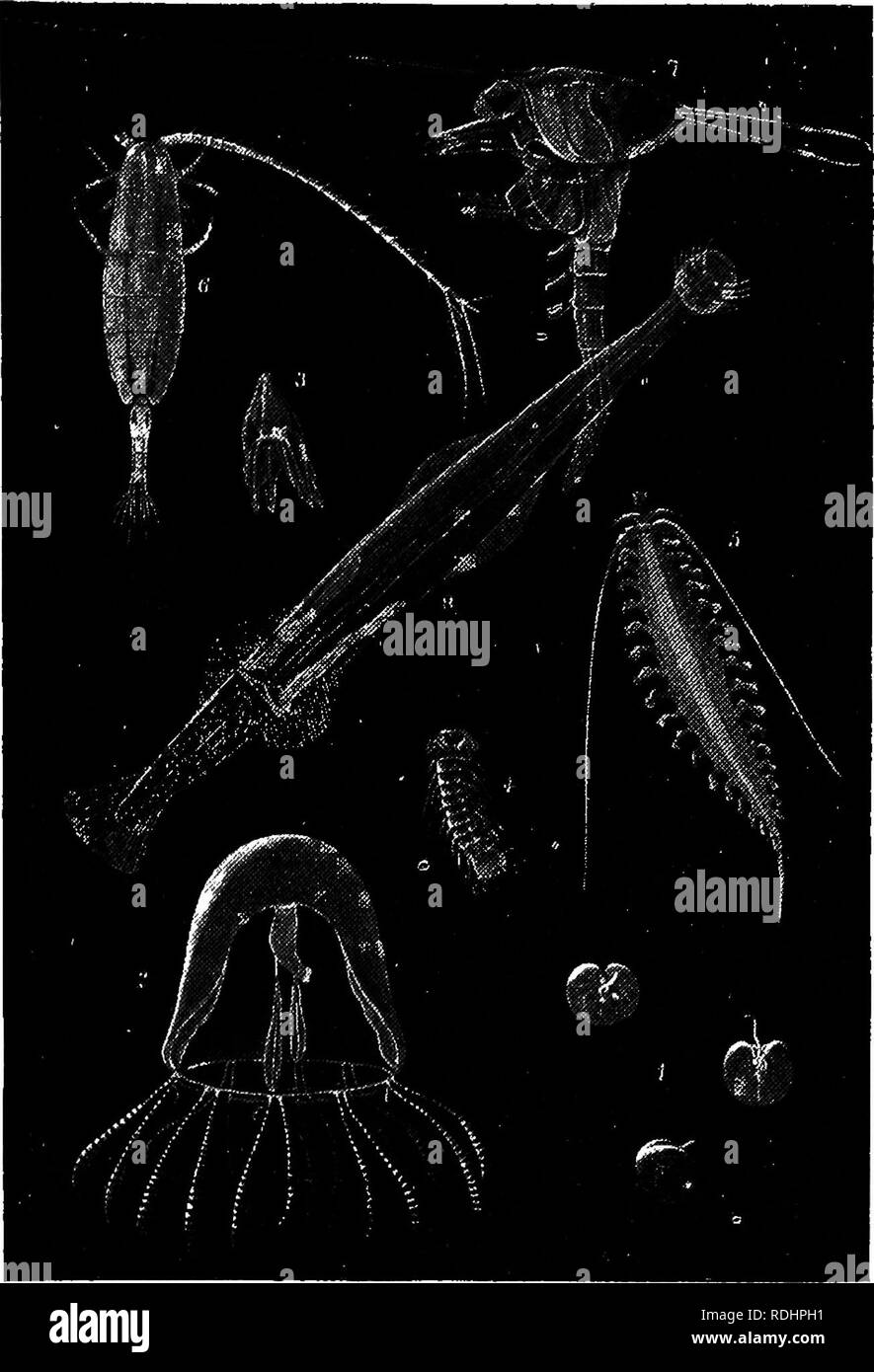 . A manual of elementary zoology . Zoology. Plate XIV.—Members of the pelagic fauna, considerably magnified. The animals shown here belong to the plankton or drifting fauna, so called because its powers of swimming are insignificant compared with the strength of the currents of the sea. They derive their food from minute floating plants, and in turn serve to feed larger pelagic animals, such as the great jelly-fish, herrings, and whales. i, Noctiluca.) a large, phosphorescent flagellate ; 2, medusa of a hydroid ; 5, a worm related to Nereis; 6, a crustacean related to Cyclops; 8, the Arrow wor Stock Photo