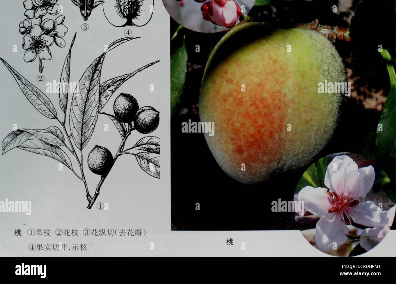 """. e er duo si zhi wu zhi. botany. 2.æ¡ Prunus persica (L.) Batsch èå Vrp<"""" å«åæ¯æ¡ãç½æ¡ å½¢æç¹å¾ä¹æ¨ï¼é«4-8mãæ ç®æè¤è²ãå¶æ«éå½¢ææ¤-åç¶æ«éå½¢ï¼é¿5-12cmï¼å®½ 1.5-4cm ï¼å 端é¿æ¸å°ï¼åºé¨å®½æ¥å½¢ï¼è¾¹ç¼æç»é¯é½¿ï¼è±åçï¼ç´å¾2.5-3.5cm ï¼å å¶å¼æ¾ï¼è¼ç- éç¶ï¼é¿çº¦6mm ï¼è¼çç©åå½¢ï¼é¿çº¦5mm;è±ç£ç²çº¢è²æç½è²ï¼å®½ååµå½¢ï¼é¿12-15nmi ï¼åºé¨ æç-çªï¼éèå¤æ°ï¼é¿ç-ä¸ä¸ï¼å-æ¿è¢«ææ¯ï¼è±æ±é¡¶çãæ ¸æè¿çå½¢ï¼ç´å¾5-7cm ï¼ææ´å¤§ï¼è¢« ç-ææ¯ï¼æèèè´¨ï¼è¥åï¼å¤æ±ï¼ææ ¸æ¤-åå½¢ï¼é¿2.5-3cmï¼é¡¶ç«¯æå°å¤´ï¼è¡¨é¢æ弯æ²æ²æ§½ãè± æ5æï¼ææ7-8æã çå¢åå¸å¼ç§æ ½å¹ææ ï¼åç§æï¼äºæé²æ¡ãå¤§ä¹ ä¿æ¡ãå²å±±ç½æ¡ãé»éæ¡ç-ãå¨å°æ°å æ¡ä»¶ç¹å«å¥½çå - Stock Image"""