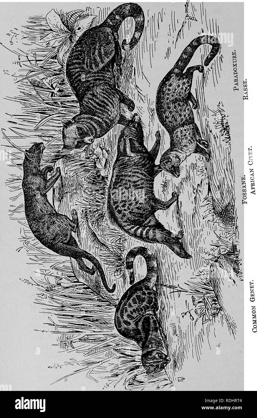 . The fur traders and fur bearing animals. Fur trade; Fur-bearing animals. 146 Caenivoea Fissipedia.. Please note that these images are extracted from scanned page images that may have been digitally enhanced for readability - coloration and appearance of these illustrations may not perfectly resemble the original work.. Petersen, Marcus, 1854-. Buffalo, N. Y. , Hammond Press Stock Photo