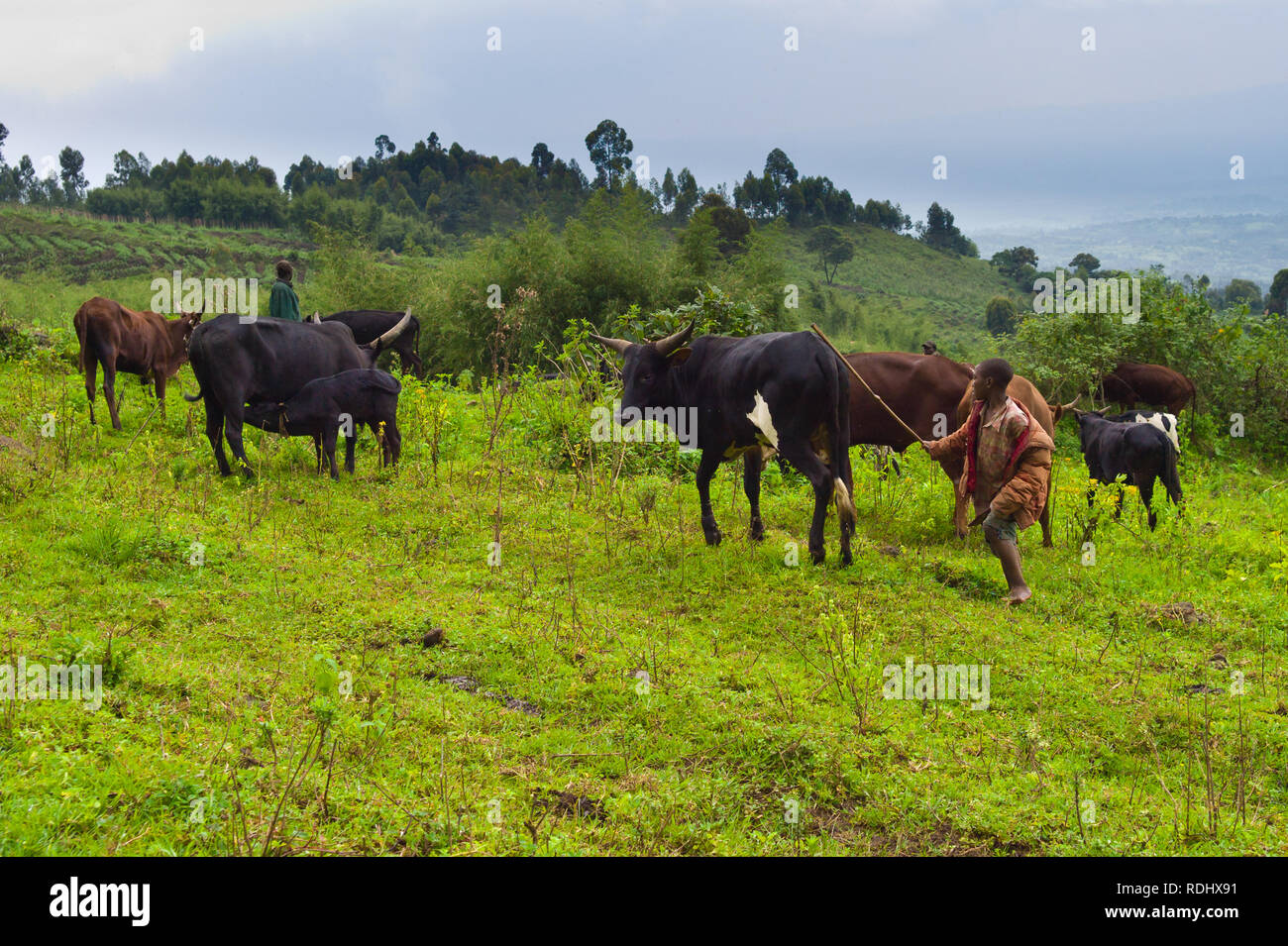 Many subsistence farmers encroach on the protected gorilola habitat of Virunga National Park, Parq National des Virunga, Democratic Republic of Congo. - Stock Image