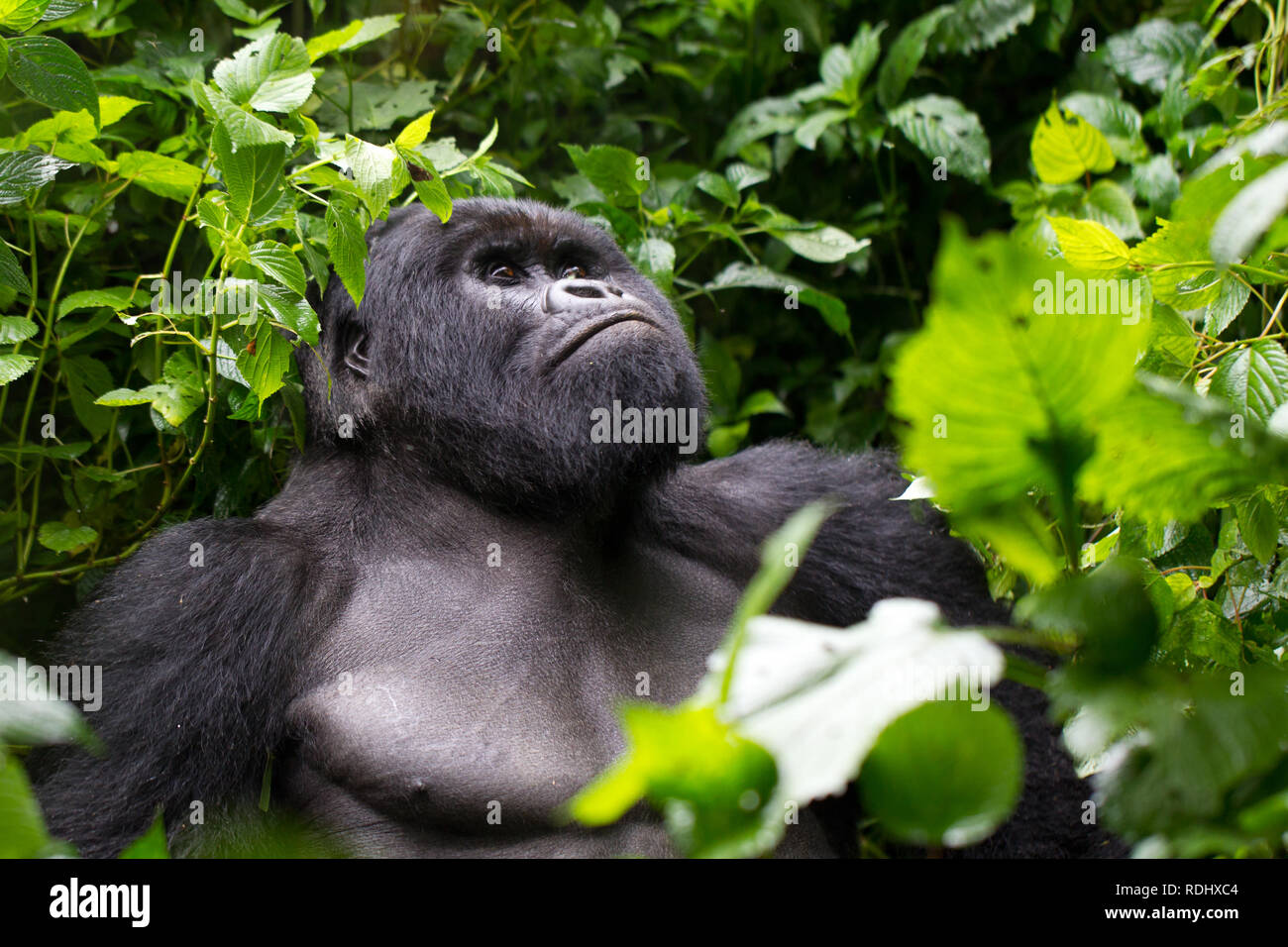Virunga National Park, DRC, is one of the few places inhabited by the critically endangered mountain gorillas, Gorilla beringei beringei. - Stock Image