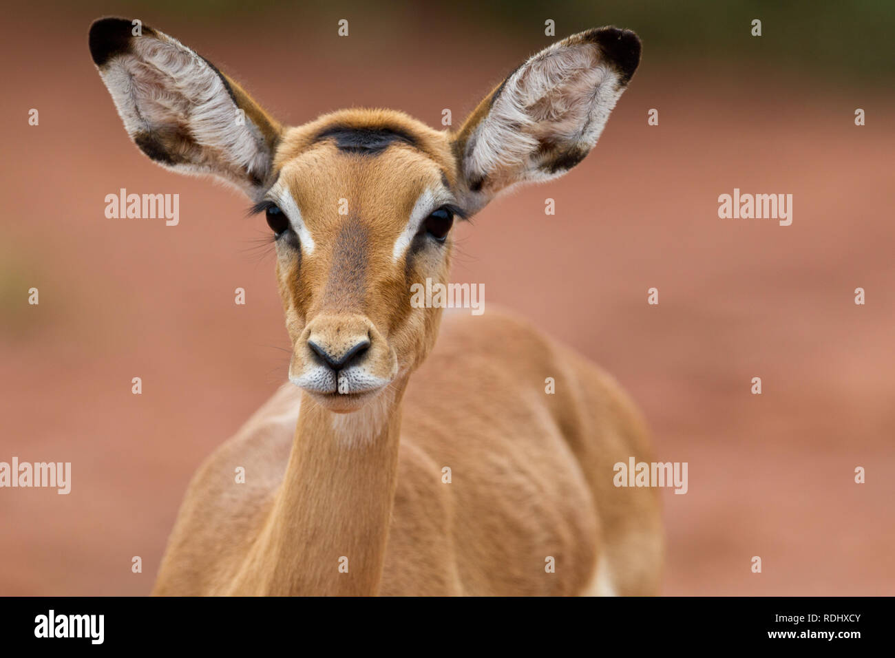 Impala, Aepyceros melampus, in Akagera National Park, Parc National de l'Akagera, Eastern Province, Rwanda, which is a recovering conservation area. - Stock Image