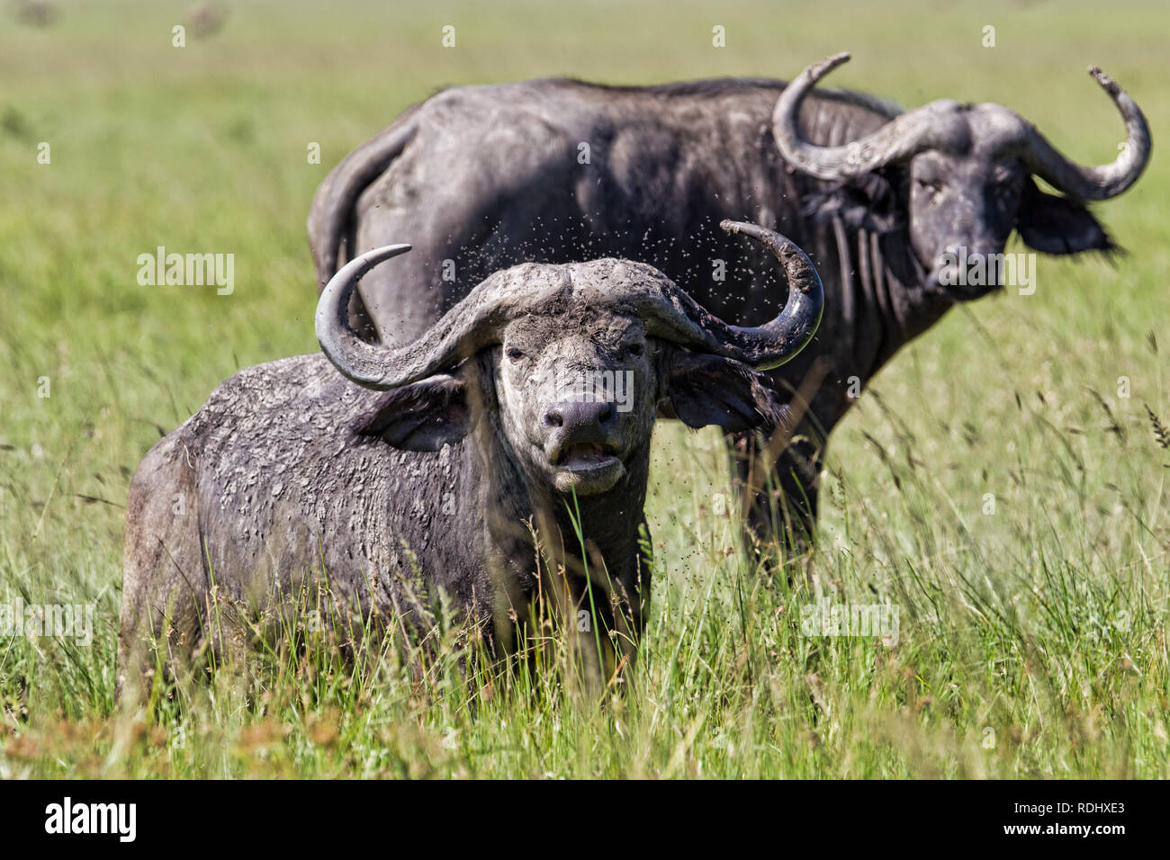 African Cape buffalo, Syncerus caffer, mostly occur in the northern stretches of Akagera National Park, Parc National de l'Akagera, Rwanda. - Stock Image