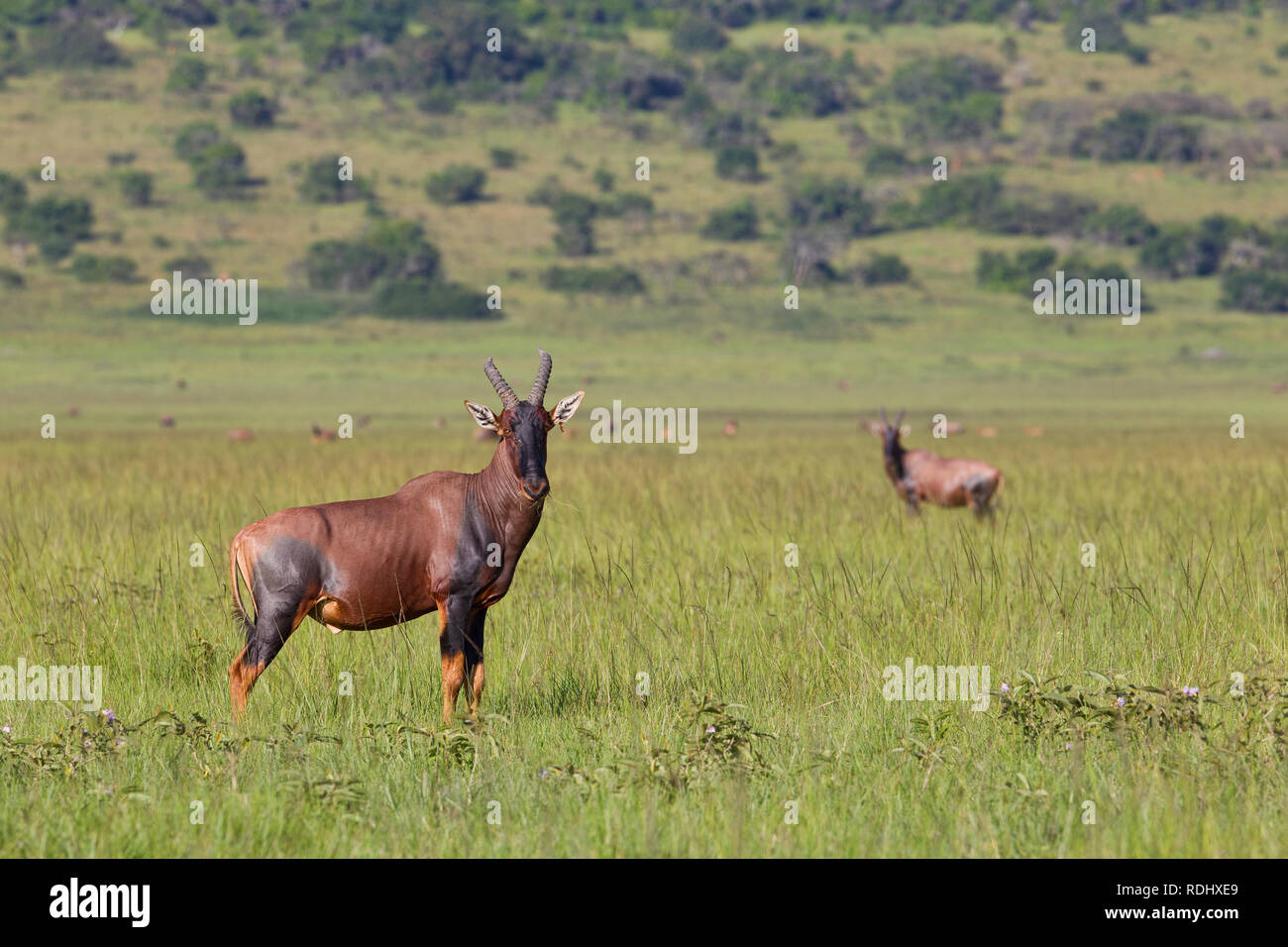 Topi, Damaliscus lunatus, graze in the recovered northern plains of Akagera National Park, Parc National de l'Akagera, Eastern Province, Rwanda. - Stock Image