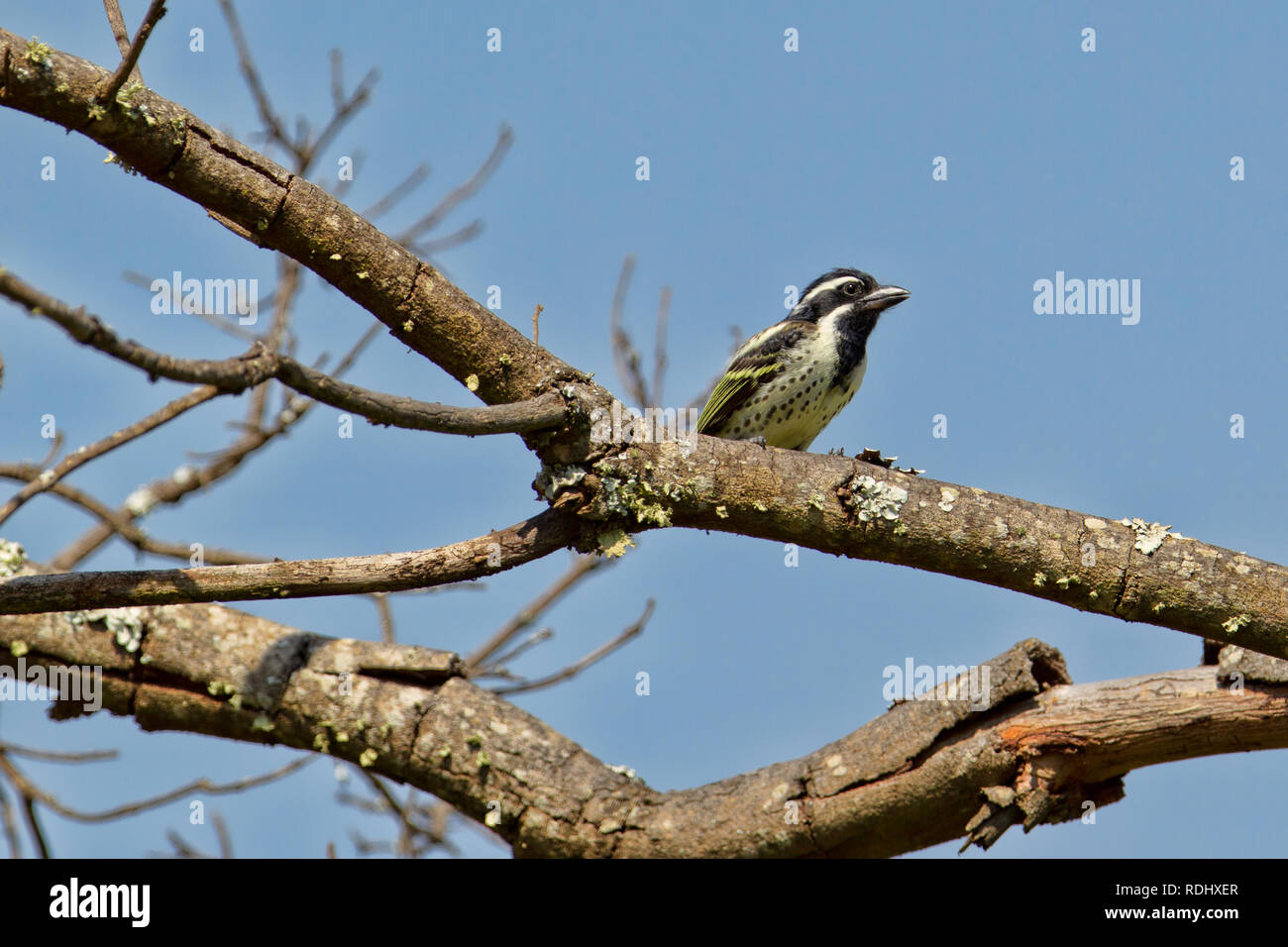 A Spot-flanked barbet, Tricholaema lacrymosa perches in a tree in Akagera National Park, Parc National de l'Akagera, Eastern Province, Rwanda. - Stock Image