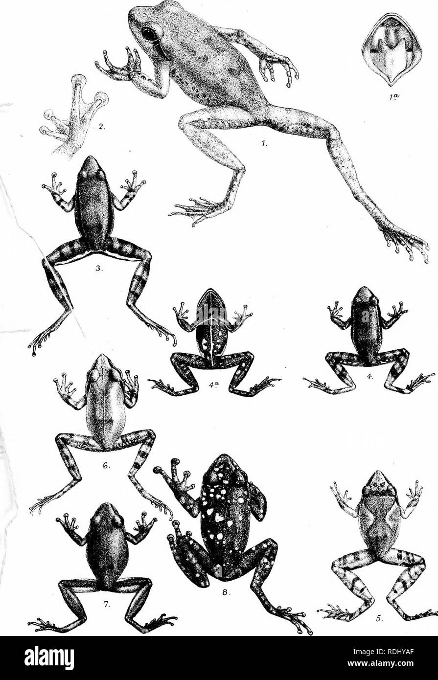. Catalogue of the Batrachia Salientia s. Ecaudata in the collection of the British museum. Amphibians. PLX.. HMintern del. Mm.-tern Bros.imp 7. Chxromaniis petersw. 2. ChirffmaiUis rixfesoens. 3. laxdxus fixeaxs. 4. Jxabuus Iwpomelcbe. S.Txcdus ojoyftwruehMs. Glaxdus ruxsuixxs- l.TaxuUxs bcdcLomii/. 8. Txmlls ouJLeptrsus.. Please note that these images are extracted from scanned page images that may have been digitally enhanced for readability - coloration and appearance of these illustrations may not perfectly resemble the original work.. British Museum (Natural History). Dept. of Zoology; B Stock Photo