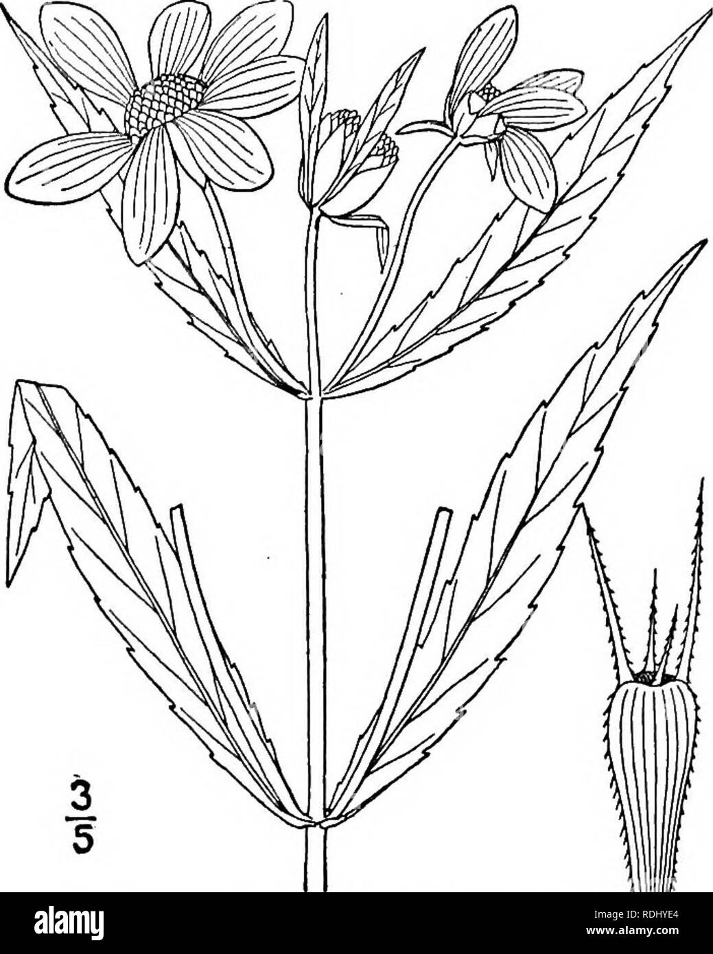 . An illustrated flora of the northern United States, Canada and the British possessions, from Newfoundland to the parallel of the southern boundary of Virginia, and from the Atlantic Ocean westward to the 102d meridian. Botany; Botany. Genus 71. THISTLE FAMILY. 495 1. Bidens laevis (L.) B.S.P. Larger or Smooth Bur-Marigold. Brook Sun- flower. Fig. 4505. Helianthus laevis L. Sp. PI. 906. 1753. Bidens chrysanthemoides Michx. Fl. Bor. Am. 2 : 136. 1803. Bidens laevis B.S.P. Prel. Cat. N. Y. 29. 1888. Bidens lugens Greene, Pittonia 4: 254. 1901. Annual; glabrous throughout; stems branch- ed, erec - Stock Image