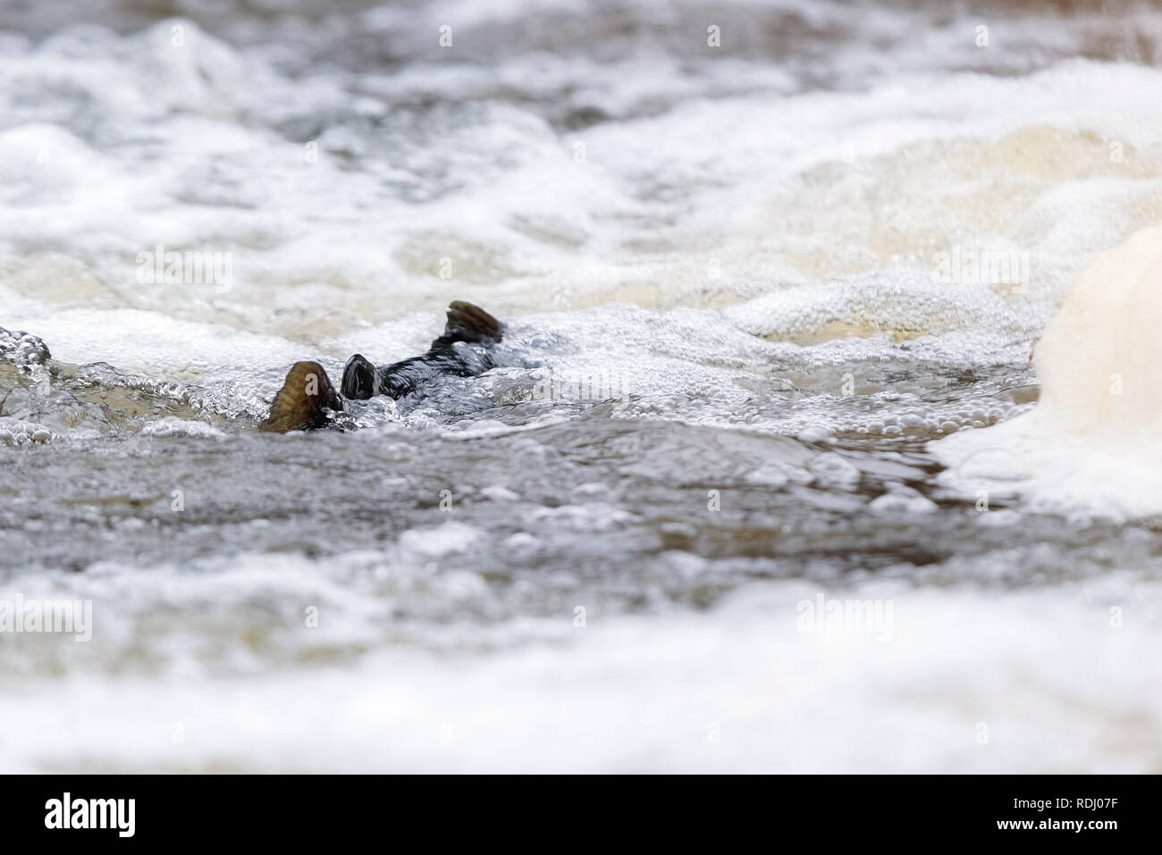 Atlantic salmon leaping rapids to find nesting place. Fish swimming in river upstream to breed - Stock Image