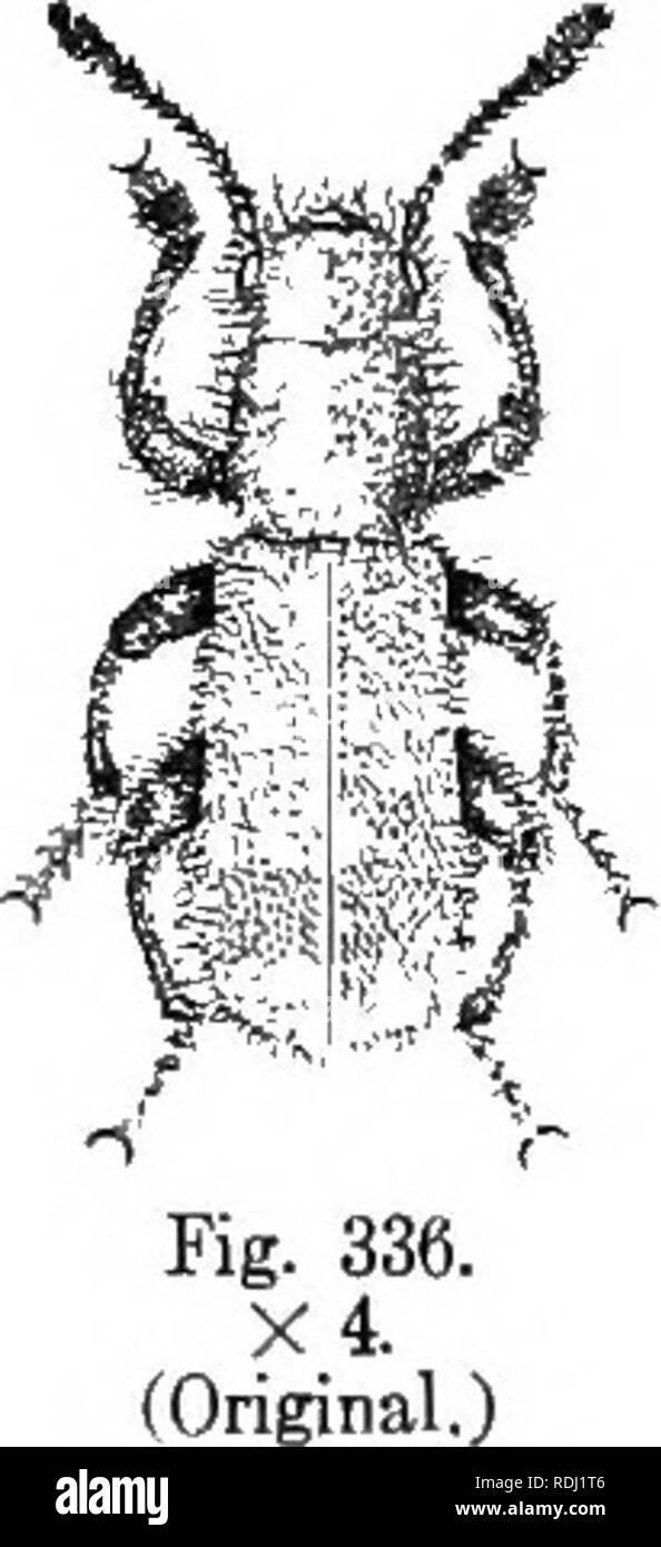 . An illustrated descriptive catalogue of the coleoptera or beetles (exclusive of the Rhynchophora) known to occur in Indiana : with bibliography and descriptions of new species . Beetles. THE CHECKERED BEETLES. 855 VII. Zenodosus Wolcott. 1910. (Gr., a proper name.) Eyes small, entire, finely granulated; maxillary palpi moder- ately compressed; labial palpi triangular, moderately dilated; an- tennae stout, club loosely and gradually formed, 3-jointed; tarsi ap- parently 4-jointed, rather slender, claw joint as long as those pre- ceding united, claws simple. The only known species is North Ame - Stock Image