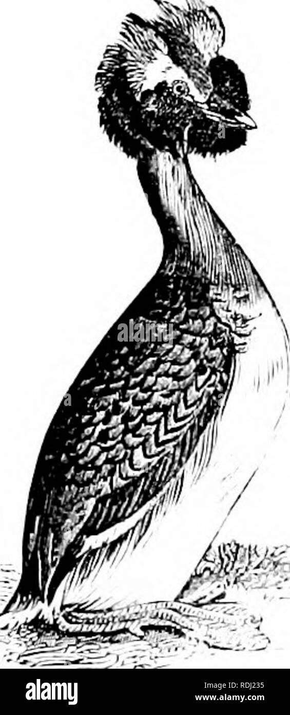. Natural history of animals;. Zoology. Fig. 165. 164. â Great Nortliern Diver, or Loon. large as a Goose, black above, beautifully spotted with \\hite, and white below. It is exceed- ingh' keen-sighted and war}-, and it di\-es so quickh' that, seeing the flash of the gun, it is often under water before the shot reaches it. Grebes are Di\-ers \\hich are smaller than the Loon, and in the spring ha\'e the head orna- mented \\ith tufts of feathers. When alarmed, they remain be- neath the surface of the \\-ater, â Crested cirebe. exposing onh' the bill.. Please note that these images are extracted Stock Photo