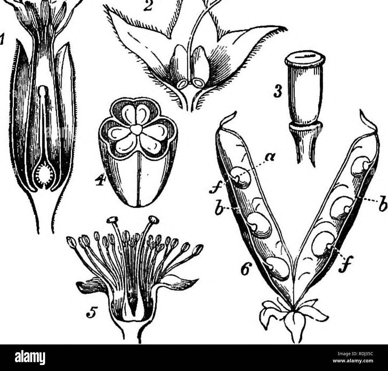 . Botany for academies and colleges: consisting of plant development and structure from seaweed to clematis. Botany; 1889. THE FLOWER DEFINED.THE EMBRYO. the Embryonic Vesicle (Fig. 3, A, ve), which becomes the embryo. All the other parts of the ovule, as well as of the plant, consist of many united cells; but this vesicle, before fertilization, is a simple cell, like the spore in Cryp- togamia. At first it has a neck called Suspensor, as in the figures in C ; but this suspensor soon disappears, except in Gymnosperms, in which it persists. 19. The Male Flower in Phanerogamia is called an An-  - Stock Image