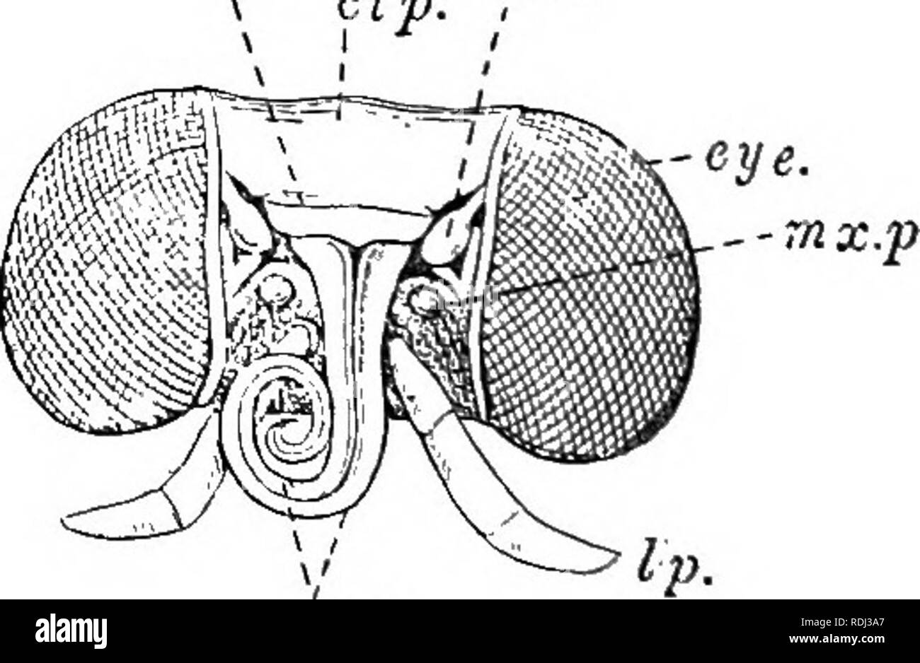 . A manual of elementary zoology . Zoology. Ibr. cip. ! md. -eye. -l.p.. Fig. 189.—A side view of the head of a butterfly. at., Antenna; eye] l.J>., labial palp; nix., maxilla. Fig. 190.—The head of a tiger moth (Arctia caja), seen from in front and partly from below, after the removal of the scales. clj>., Clypeus; eye; lp., labial palp; Ibr., labrum; md.^ structure supposed to repre- sent a mandible; mx., maxillae; mx.p., maxillary palp. within the body of its parent or under shelter of an egg shell, like the young of man or birds or the early stages of. Please note that these images a - Stock Image