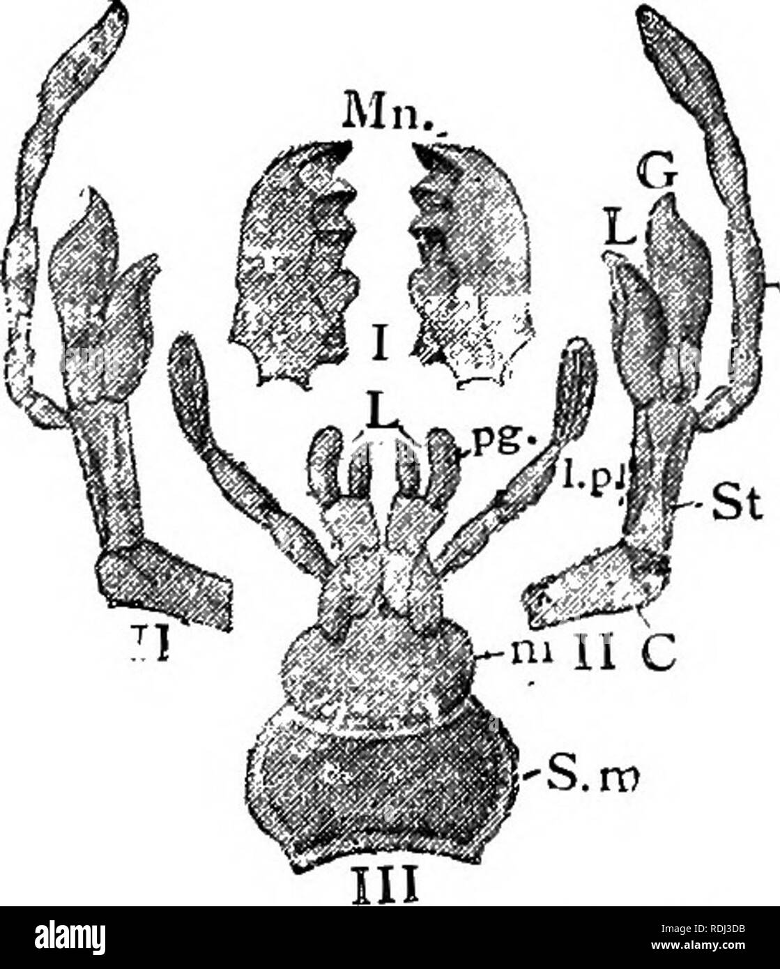 . A manual of elementary zoology . Zoology. Fig. 179.-—The head of a cockroach, seen from in front. at,, Antenna; dp., clypeus ; ecr., epicranium ; eye;/en., fenestra; gen., gena; Ibm., part of the labium ; lb.p., labial palp ; Ibr., labrum; md., mandible; mx., part of the maxilla; mx.p., maxillary palp; sut., sutures.. -mx.p Fig. 180.—The mouth appendages of a cockroach.—After Dufour. I, Mn., mandibles ; II, maxilhe ; C, cardo ; St., stripes ; L., lacinia; G., galea; mx.p., max- illary palp ; III, labium ; S.m., submentum ; in., mentum ; L., lacinias ; pg., paraglossa; l.p., labial palp.. Ple - Stock Image