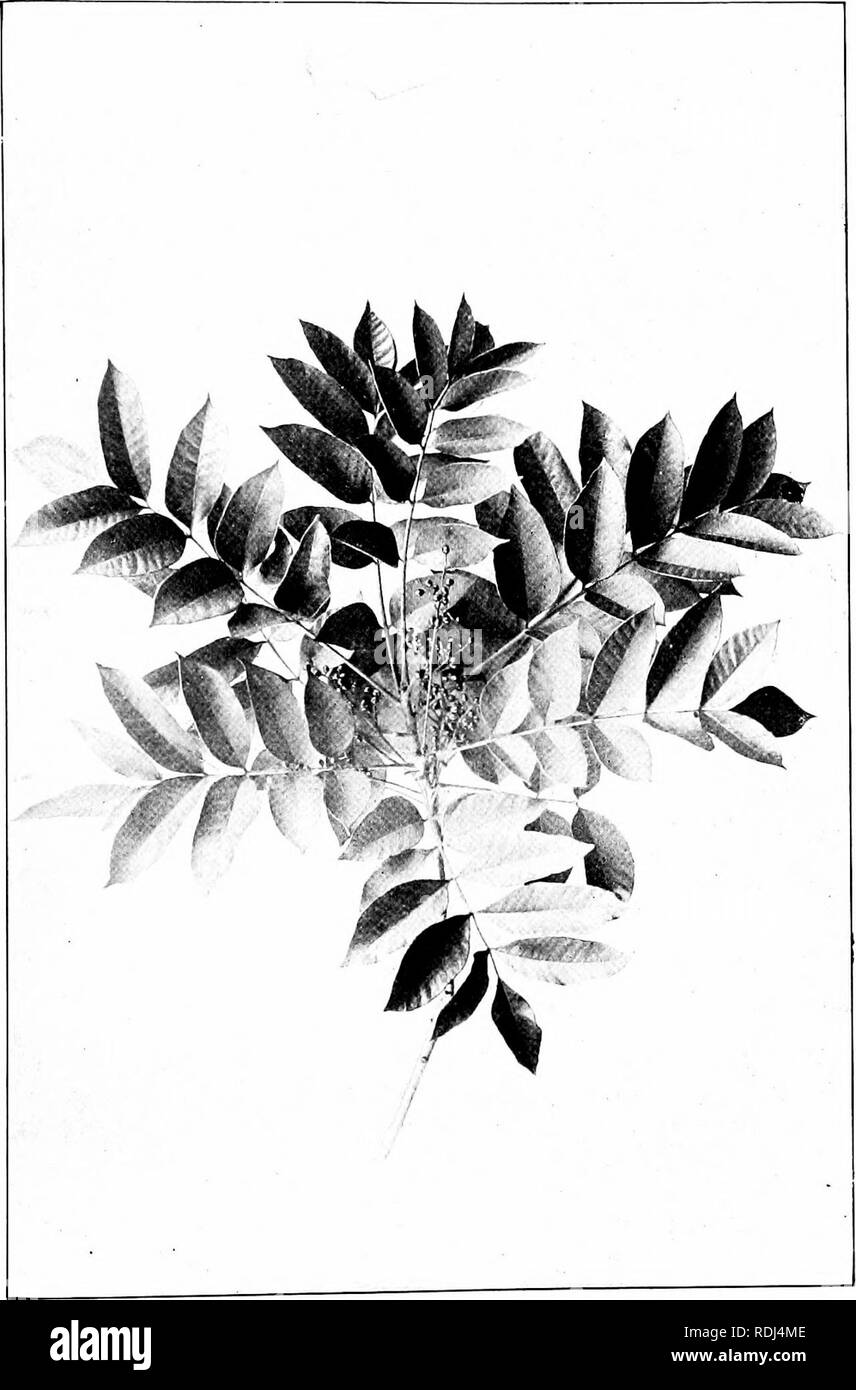 . Our northern shrubs and how to identify them : a handbook for the nature-lover . Shrubs. POISON SUMACH. Poison Sumach, Rhus vernix Leaflets i' to 4' long.. Please note that these images are extracted from scanned page images that may have been digitally enhanced for readability - coloration and appearance of these illustrations may not perfectly resemble the original work.. Keeler, Harriet L. (Harriet Louise), 1846-1921. New York : Charles Scribner's Sons - Stock Image