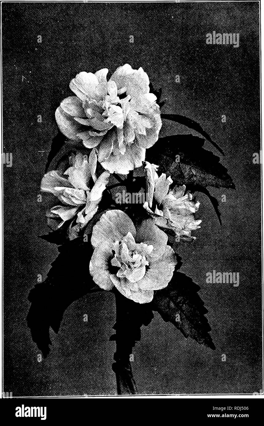 . Our northern shrubs and how to identify them : a handbook for the nature-lover . Shrubs. SHRUBBY ALTH^A. Shrubby Althaea, Hibiscus syriacus. ;aves 2' to 3^3' long. Flowers 2' to 3' aero. Please note that these images are extracted from scanned page images that may have been digitally enhanced for readability - coloration and appearance of these illustrations may not perfectly resemble the original work.. Keeler, Harriet L. (Harriet Louise), 1846-1921. New York : Charles Scribner's Sons - Stock Image