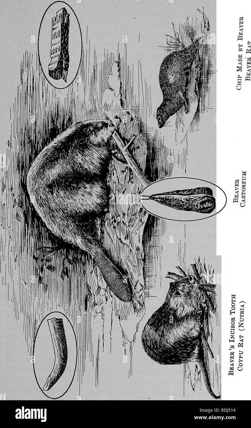 . The fur traders and fur bearing animals. Fur trade; Fur-bearing animals. The Beaver. 279. Please note that these images are extracted from scanned page images that may have been digitally enhanced for readability - coloration and appearance of these illustrations may not perfectly resemble the original work.. Petersen, Marcus, 1854-. Buffalo, N. Y. , Hammond Press Stock Photo