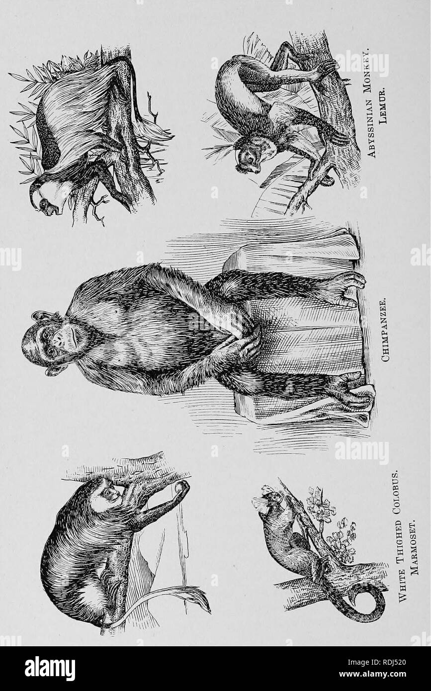 . The fur traders and fur bearing animals. Fur trade; Fur-bearing animals. 268 The Primates.. Please note that these images are extracted from scanned page images that may have been digitally enhanced for readability - coloration and appearance of these illustrations may not perfectly resemble the original work.. Petersen, Marcus, 1854-. Buffalo, N. Y. , Hammond Press Stock Photo