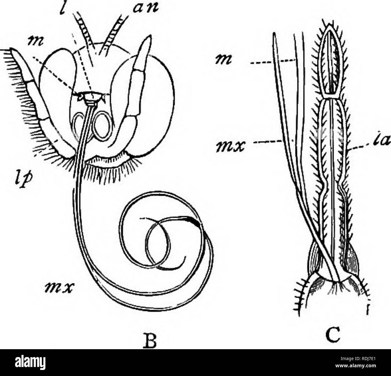 . A text-book of agricultural zoology. Zoology, Economic. Pig. 60.—Mouth Parts of Insect3. A, Biting mouth parts; b, sucking, and o, piercing mouths: I, upper lip; m, man- dibles ; ma:, maxillEe; mp, maxillary palpi; Za, lower lip; Zp, labial palpi; a^i, an- tennae. (Nicholson.) prevents those insects possessing it from doing any damage. Those groups with this latter type of oral structure aid more or less in the fertilisation of plants. It will be chiefly, then, amongst the biting and piercing mouthed insects that the injurious species will be found. But we must bear in mind that the suctoria - Stock Image