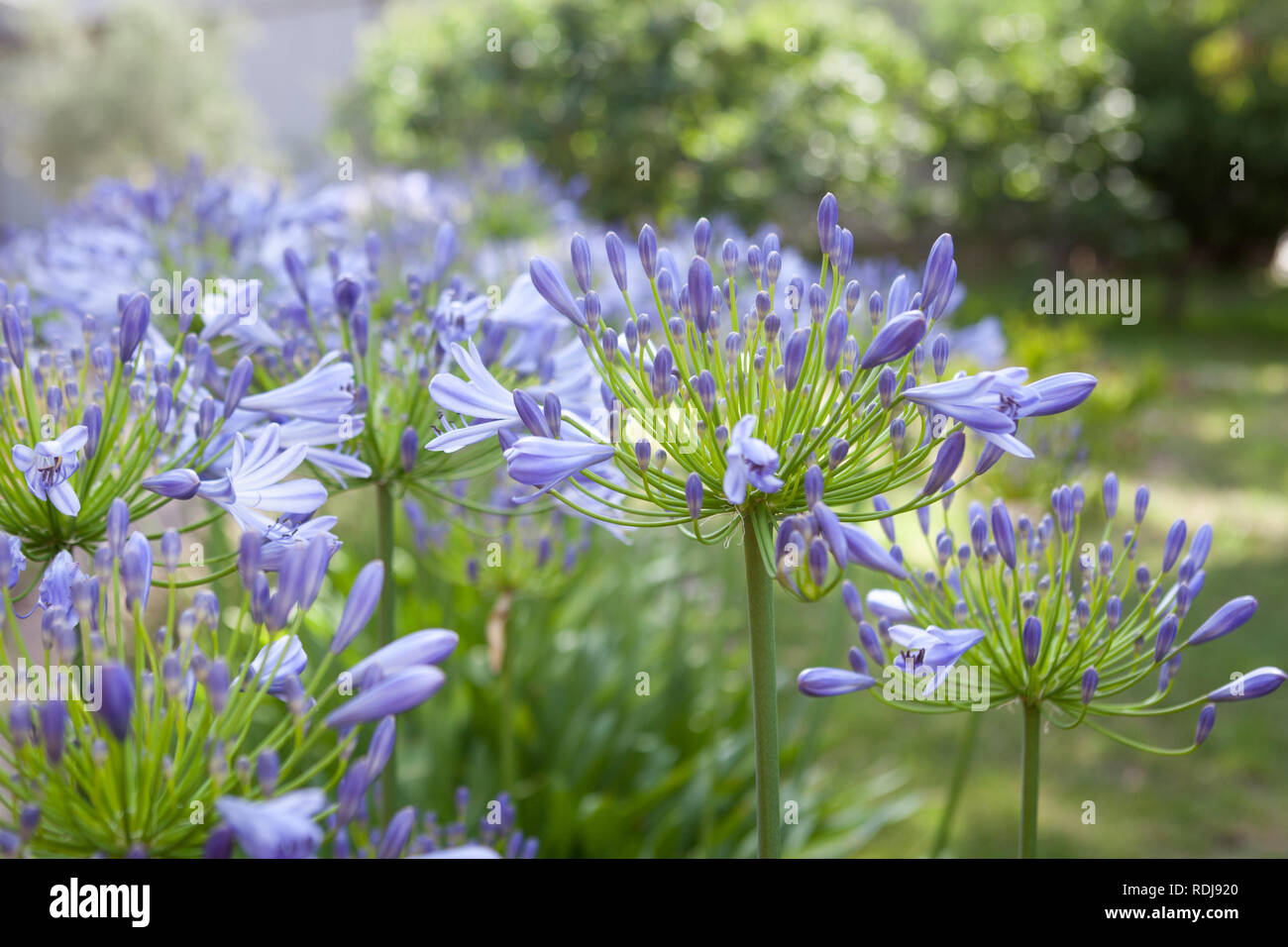 Popular Hardy And Beautiful A Garden Edge Of Agapanthus Is
