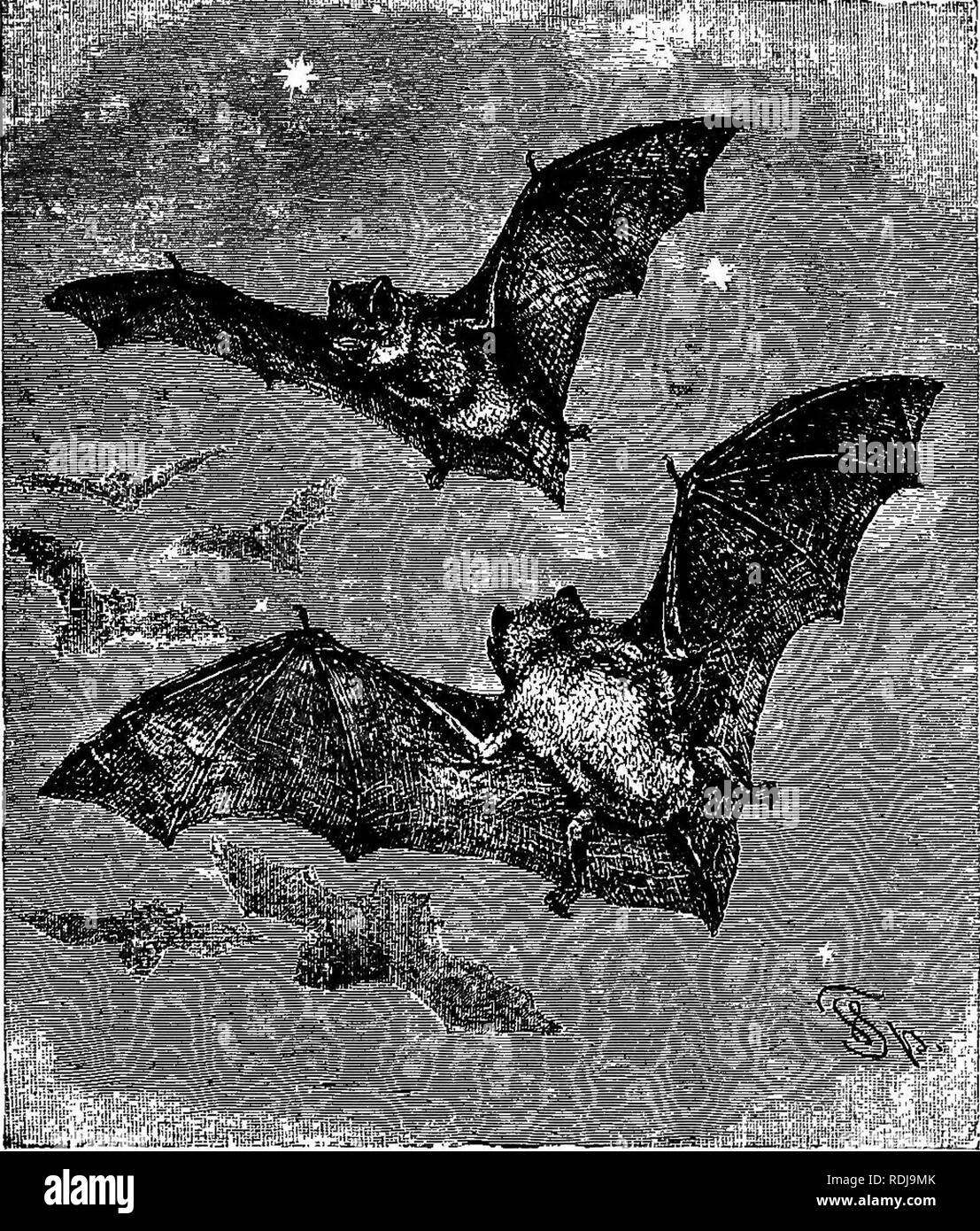 """. The animals of the world. Brehm's life of animals;. Mammals. FLYING DOGS, OR FRUIT-EATING BATS. 79 weather lasts they remain in their pendant attitude, but on the warmer winter days some species awake and fly about even in snow and thawing weather. All Bats carry their young ones around with them when they fly, even when the little ones can use their wings fairly well and are able to temporarily. PIPISTEELLE BAT. -Out in the night ii 1 """" tli^.LtJv, i'.i,iol.viiio. LuoJj !».js, looking for such-tiny insects as Gnats, Midges and' other two-winged Flies, which form its food. This animal is foun Stock Photo"""