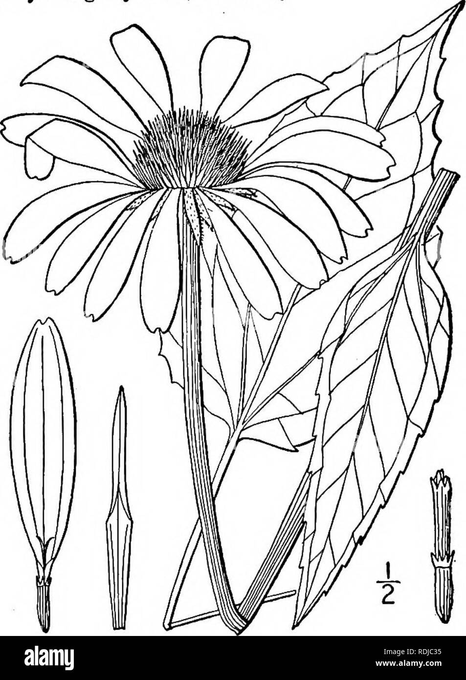 . An illustrated flora of the northern United States, Canada and the British possessions, from Newfoundland to the parallel of the southern boundary of Virginia, and from the Atlantic Ocean westward to the 102d meridian. Botany; Botany. E. purpurea. E. angustifolia. E. pallida. E. paradoxa.. i. Echinacea purpurea (L.) Moench. Purple Cone-flower. Black Sampson. Fig. 4456. Rudbeckia purpurea L. Sp. PI. 907. 1753. Echinacea purpurea Moench, Meth. 591. 1794- Brauneria purpurea Britton, Mem. Torr. Club 5 : 334. 1894. Stem glabrous, or sparingly hispid, usually stout, 2°-5° high. Lower and basal lea - Stock Image